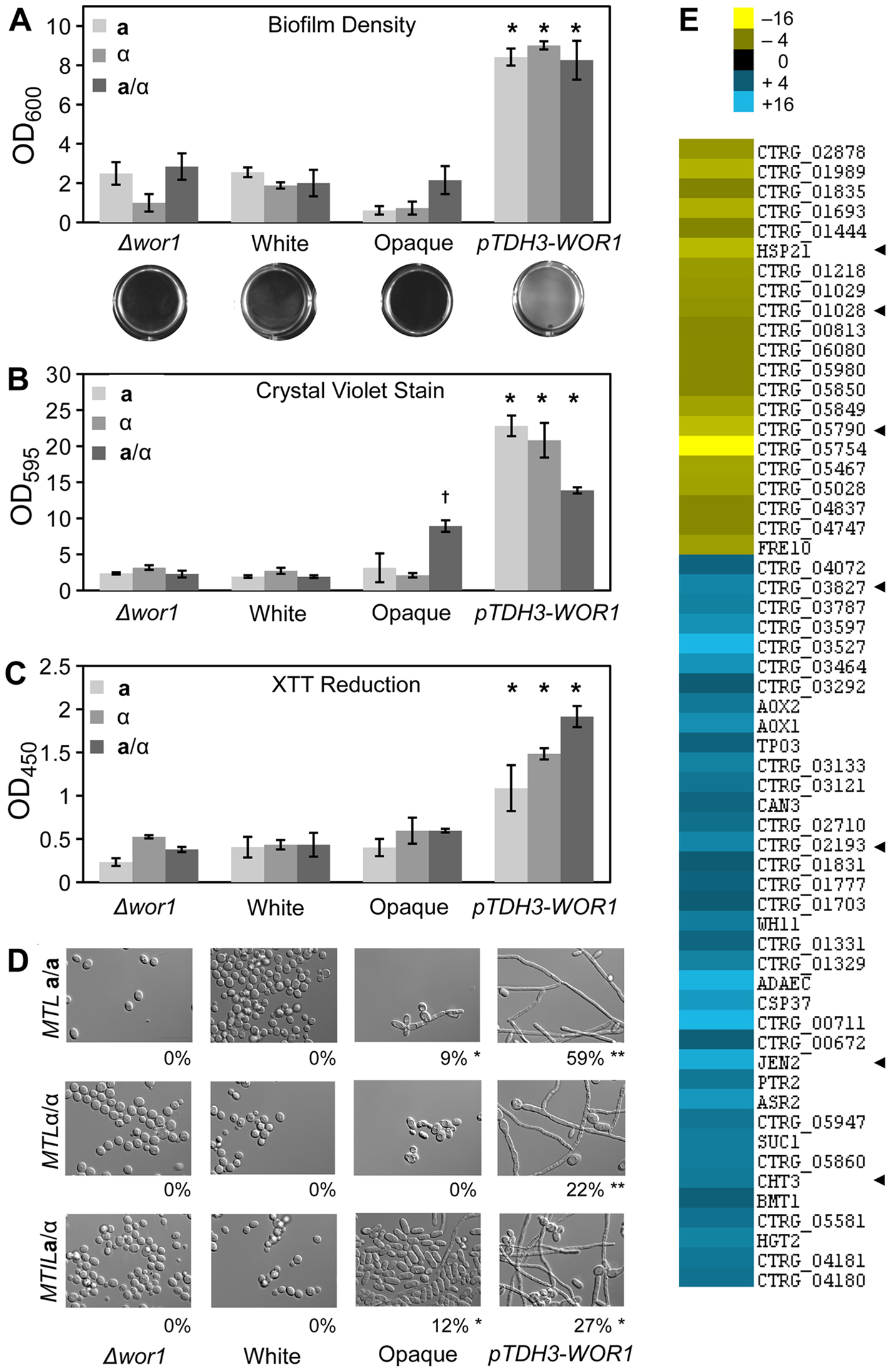 Biofilm formation is induced by <i>WOR1</i> overexpression in <i>C. tropicalis</i>.