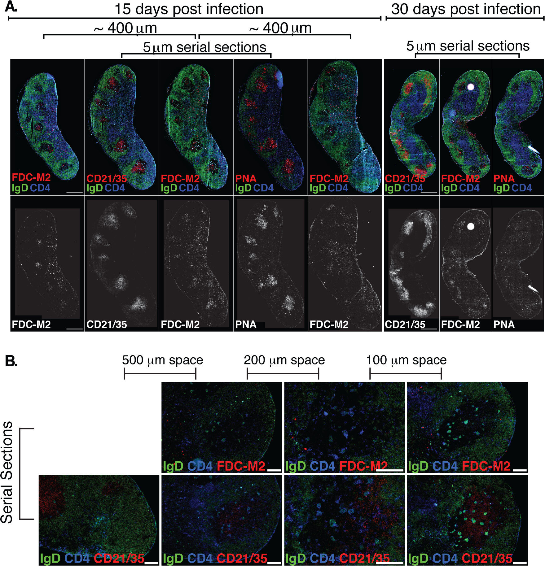 (A) Left Inguinal (Ing) LN from Bb-infected mice were analyzed by immunofluorescence for follicular dendritic cell markers FDC-M2, CD21/35, and for germinal centers (PNA; all red).