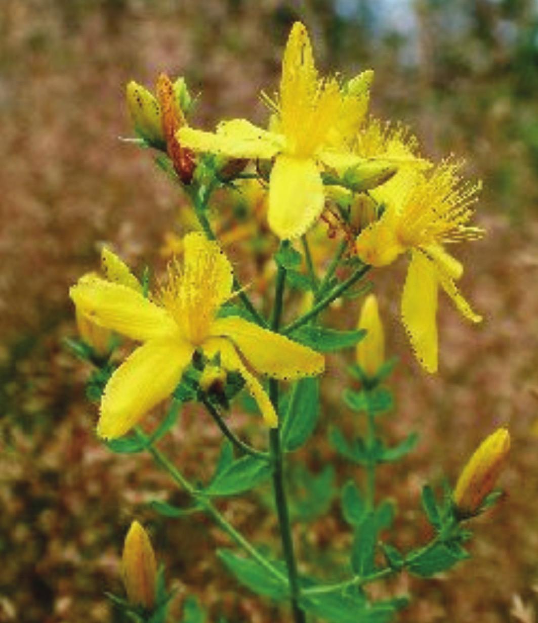 Hypericeae (Hypericum perforatum)