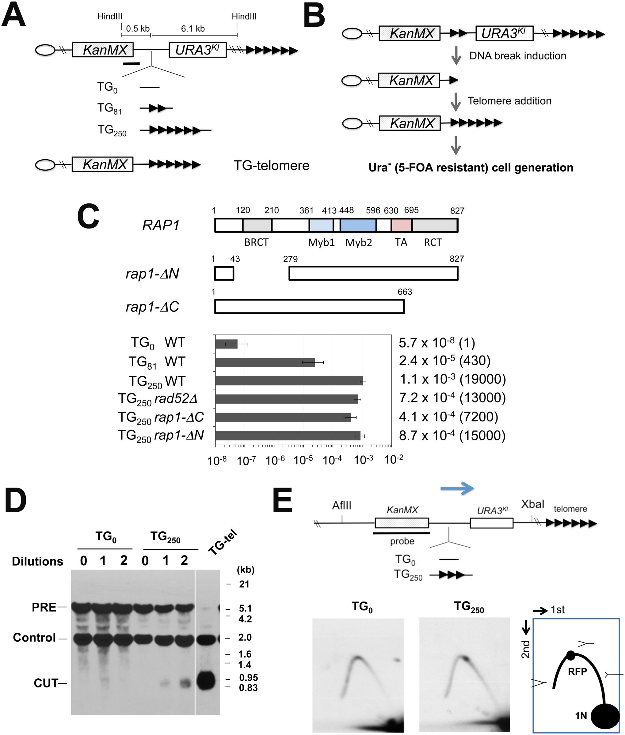 Chromosome truncation at internal TG repeats.