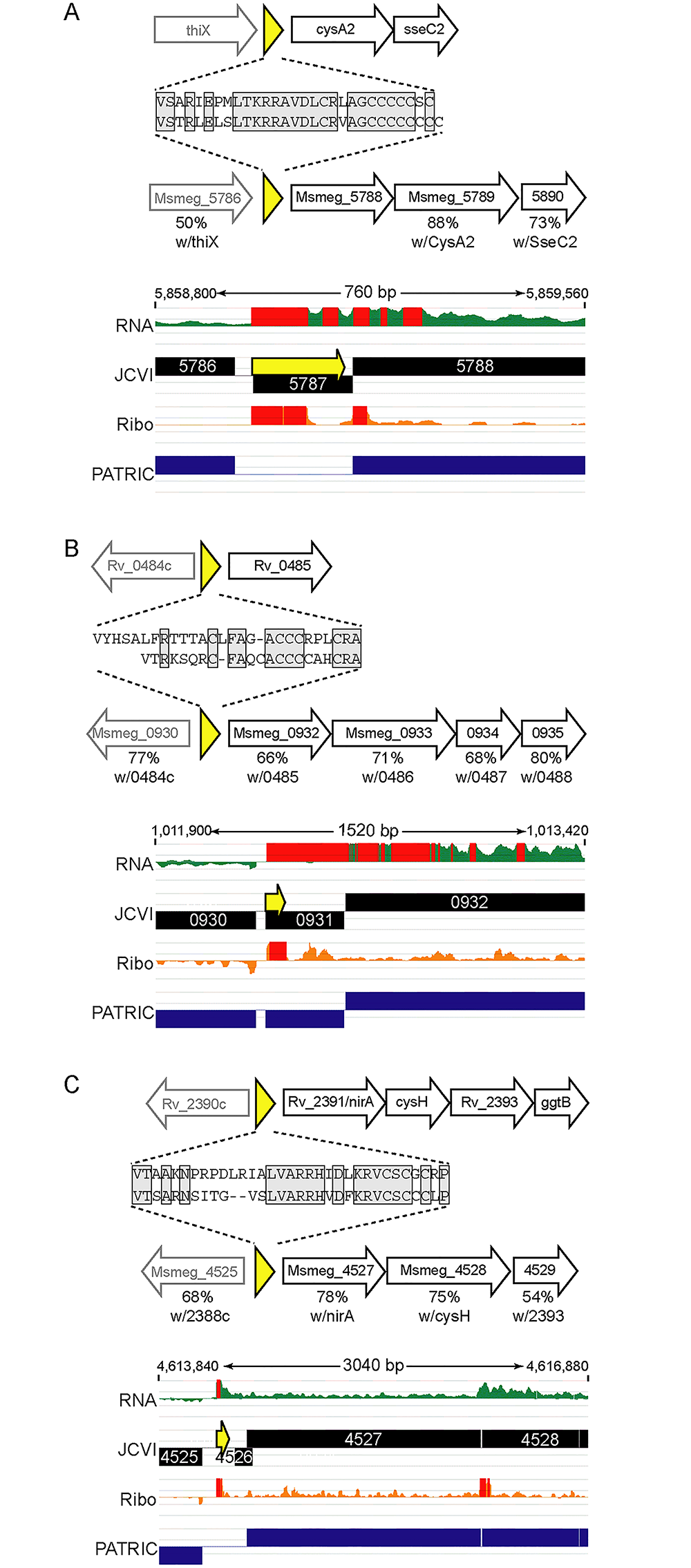 Examples of conserved small proteins encoded by leaderless mRNAs in mycobacteria.