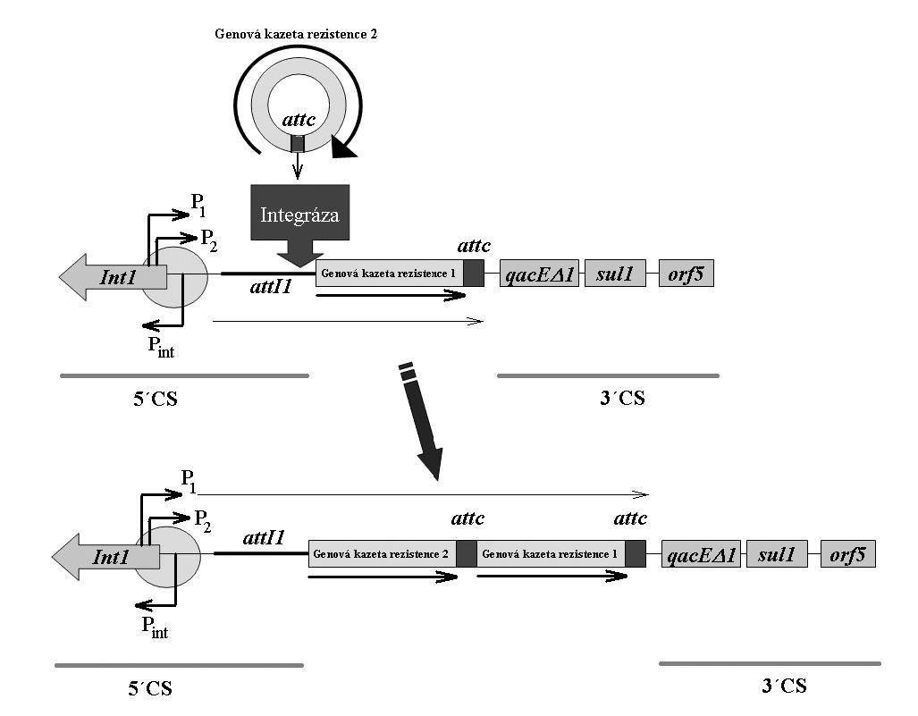 Schéma integronu a integrace genových kazet u integronu třídy 1. Int1 – gen pro integrázu, P<sub>int</sub> – promotor genu pro integrázu, P<sub>1</sub> , P<sub>2</sub> – promotory genových kazet integrovaných v integronu, attI1 – vazebné místo integrázy na integronu, attc – vazebné místo integrázy na genové kazetě, 5'CS – 5' konzervativní sekvence, 3'CS – 3' konzervativní sekvence. Volně podle [5]. <b>Fig. 8.</b> Schematic representation of the integron and gene cassette integration in the class 1 integron. Int1 – integrase gene, P<sub>int</sub> – integrase gene promoter, P<sub>1</sub> , P<sub>2</sub> – promoters of the gene cassettes integrated into the integron, attI1 – integrase binding site in the integron, attc – integrase binding site in the gene cassette, 5'CS – 5' conserved sequence, 3'CS – 3' conserved sequence. Based on [5].
