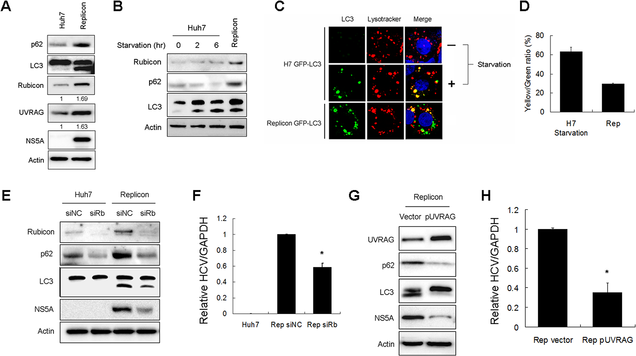 Effects of Rubicon on autophagosomal maturation and HCV RNA replication in HCV replicon cells.