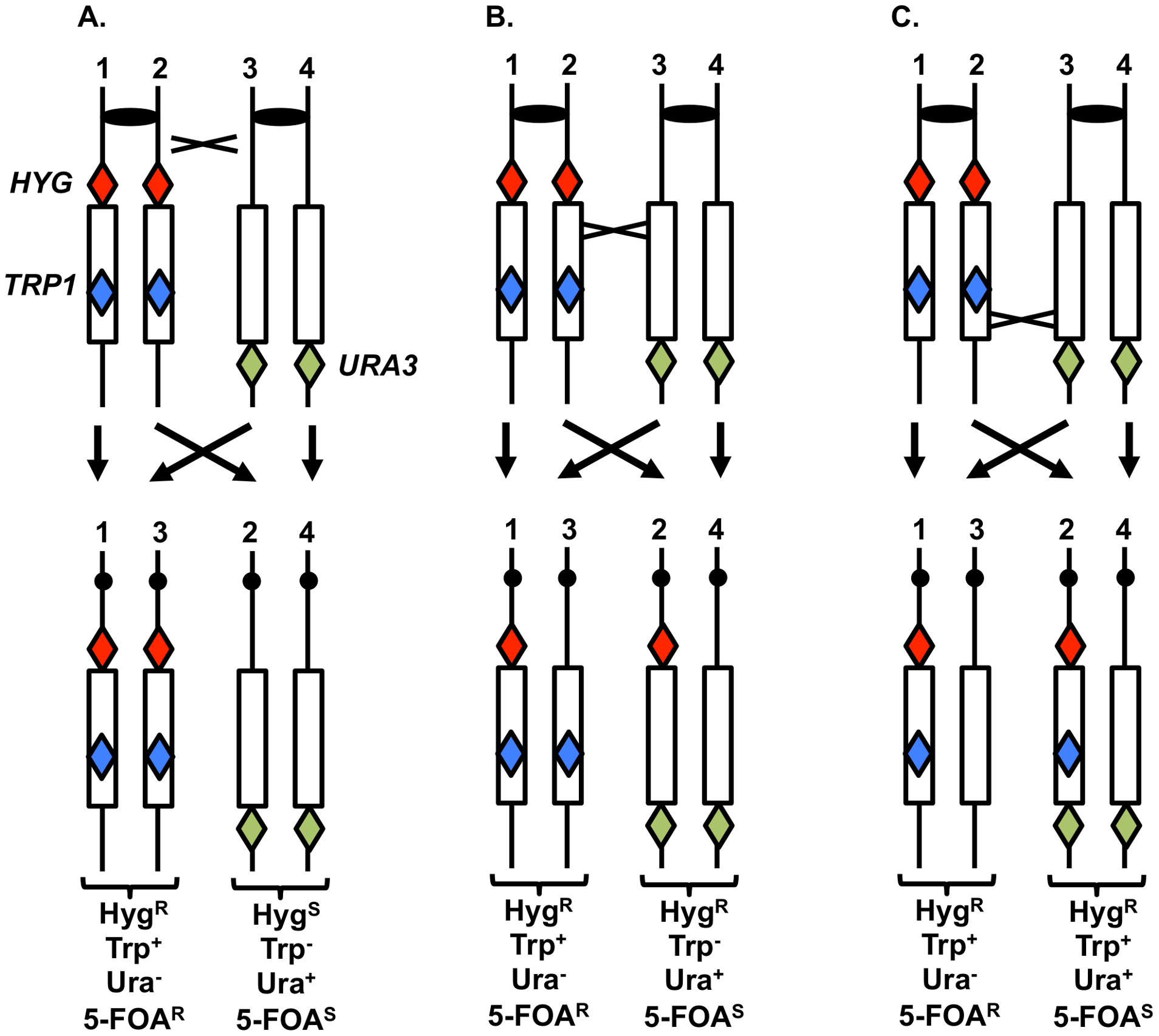 System to monitor crossovers on chromosome XII.