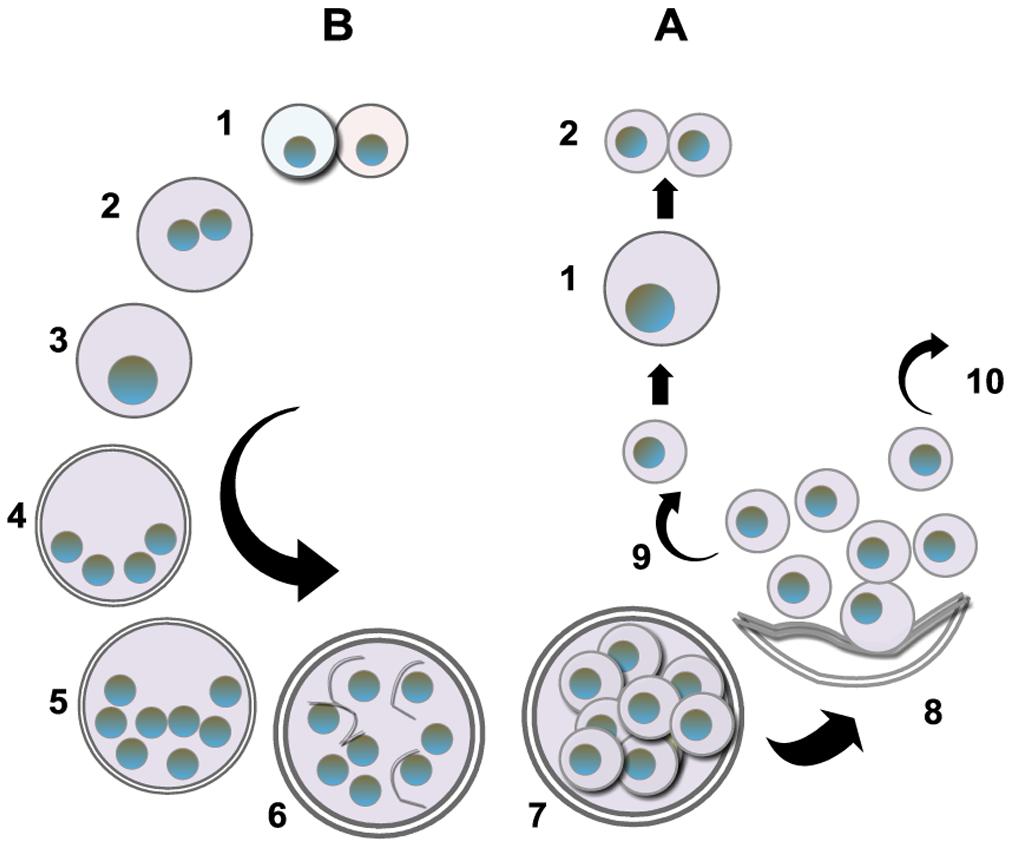 Putative life cycle <i>of Pneumocystis</i>.