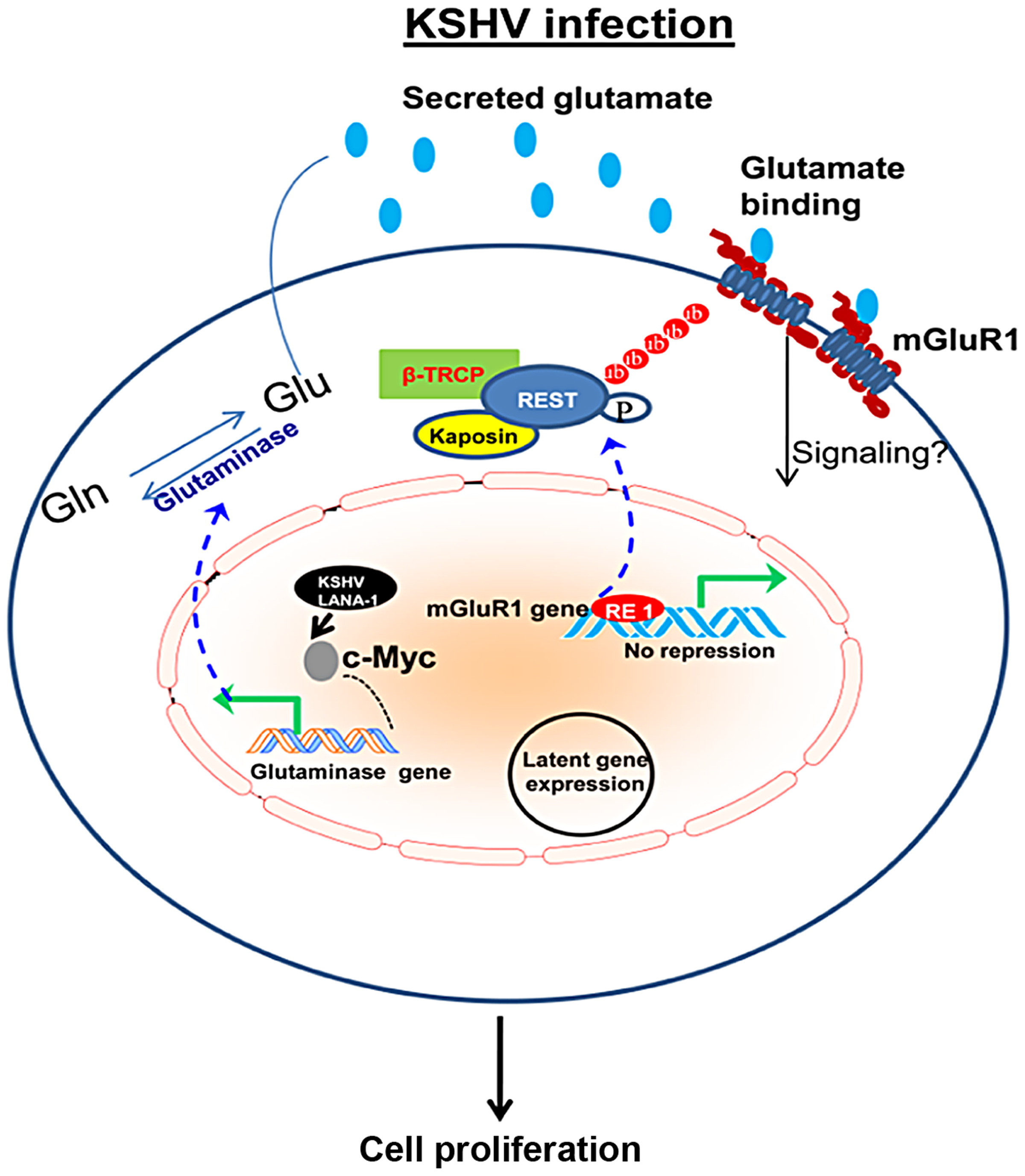 Schematic diagram showing the pathways for glutamate generation and mGluR1 upregulation in KSHV infected cells.