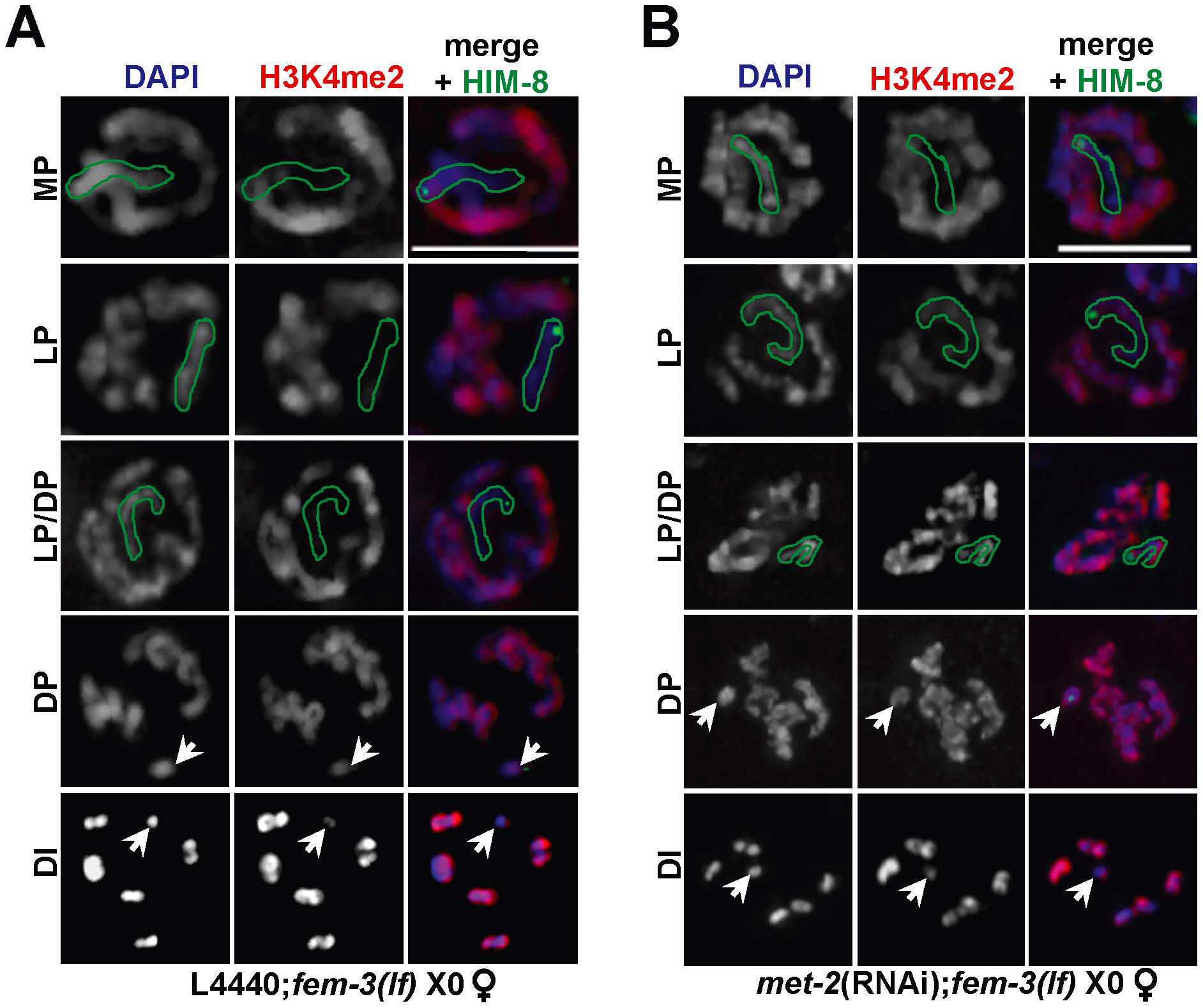 Ectopic X-specific H3K4me2 accumulation in late pachytene X0 germ lines depleted for <i>met-2</i>.
