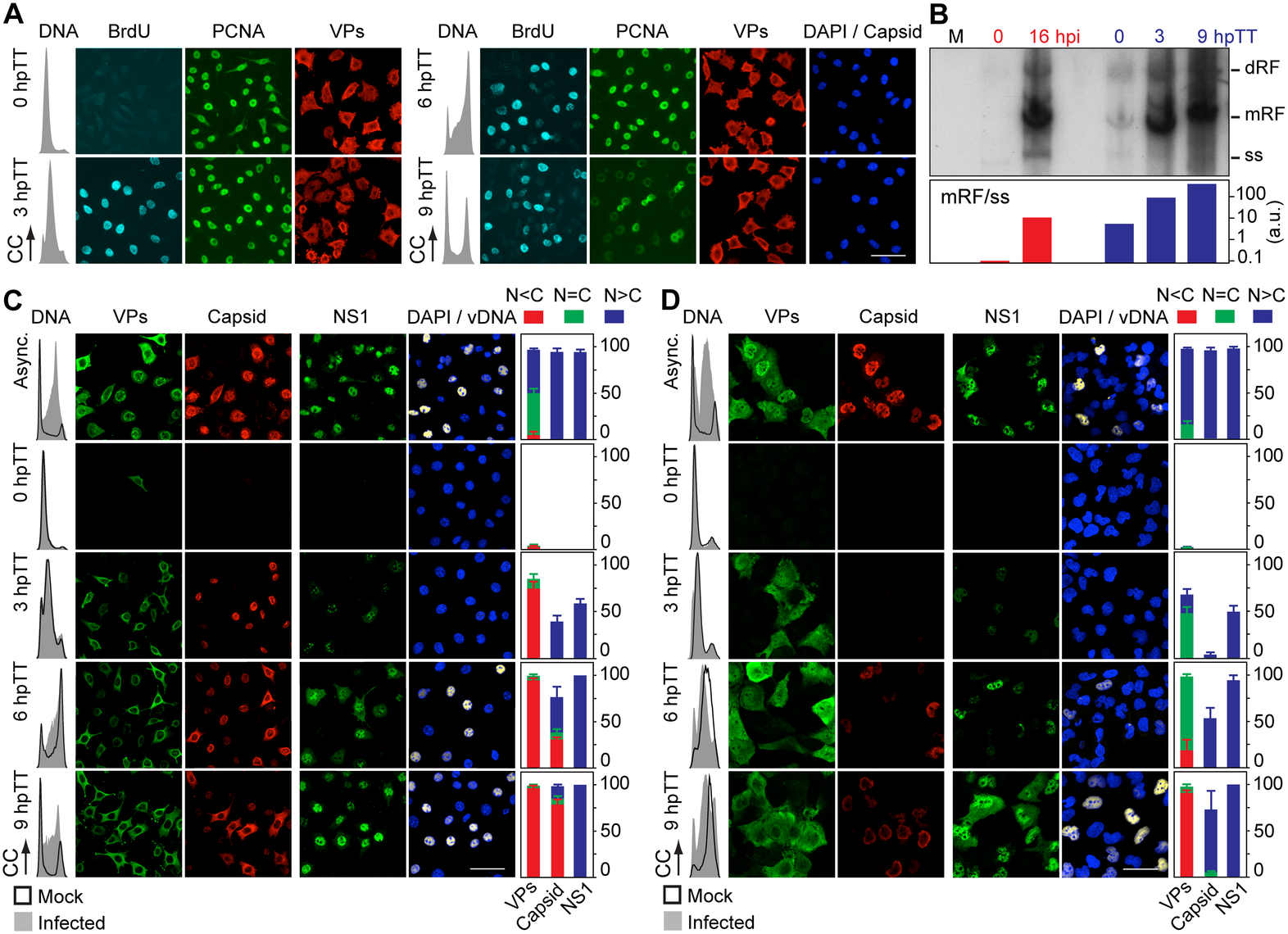 Stressing cellular DNA synthesis uncouples parvovirus genome replication from nuclear capsid assembly.