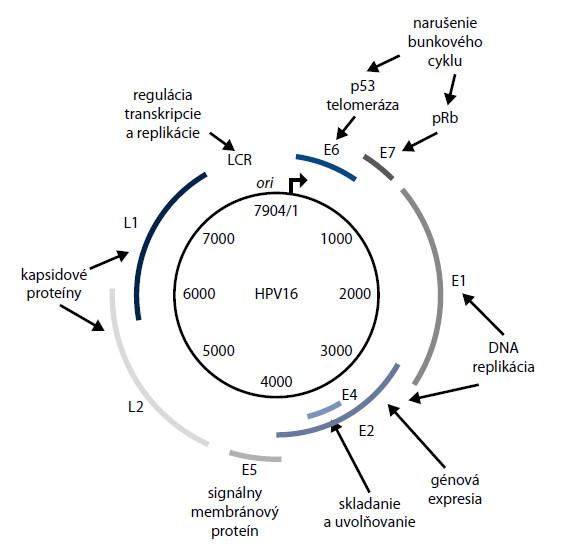 Organizácia genómu HPV 16 [21]. Funkcie jednotlivých génov sú uvedené v tab. 1. Čo sa týka LCR, ide o dôležité regulačné miesto, v ktorom sa nachádza počiatok  replikácie DNA (ORI) a úseky potrebné pre správny priebeh transkripcie a translácie akoE1-viažúce miesto, E2-viažúce miesto, TATA box a pod.