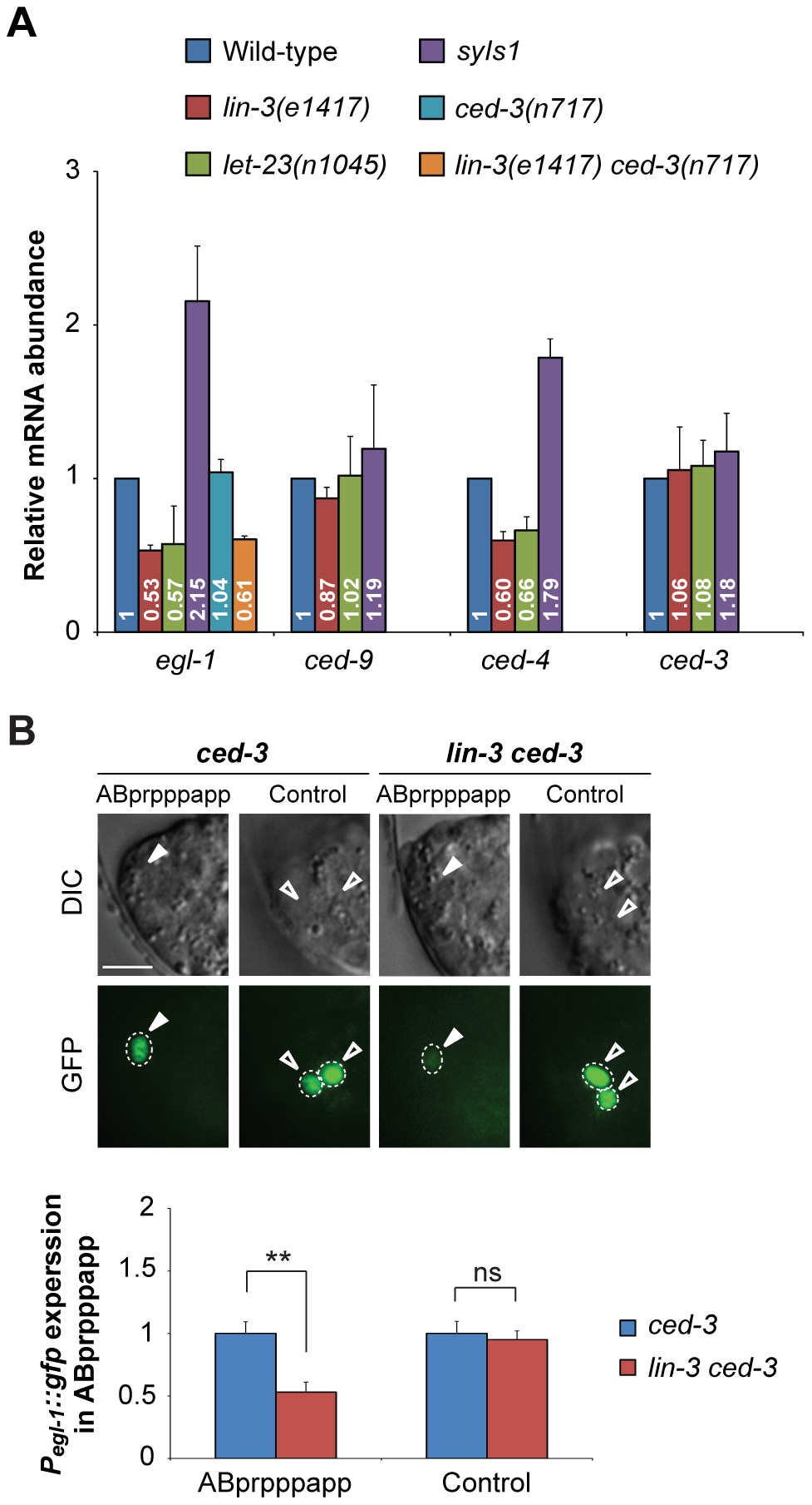 <i>lin-3</i> promotes <i>egl-1</i> transcription.
