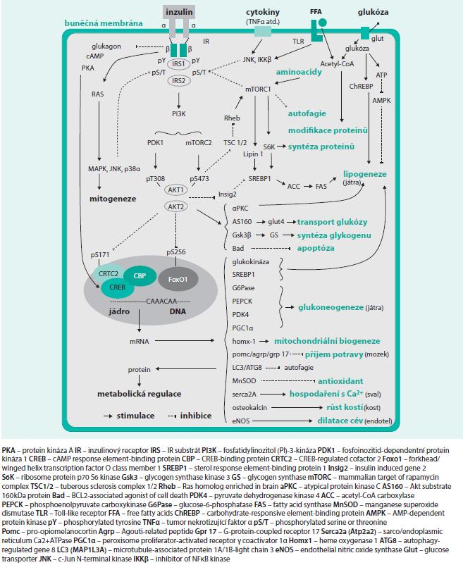 Schéma 1. Inzulinová signalizační kaskáda a její interakce s humorálními (cytokiny) a nutričními (FFA, aminokyseliny a glukóza) podněty s vybranými účinky inzulinu v metabolizmu cukrů, tuků a bílkovin a dalšími biologickými účinky (autofagie, apoptóza, mitochondriální biogeneze, příjem potravy, metabolizmus vápníku, růst kostí a vazodilatace). Upraveno podle [2].