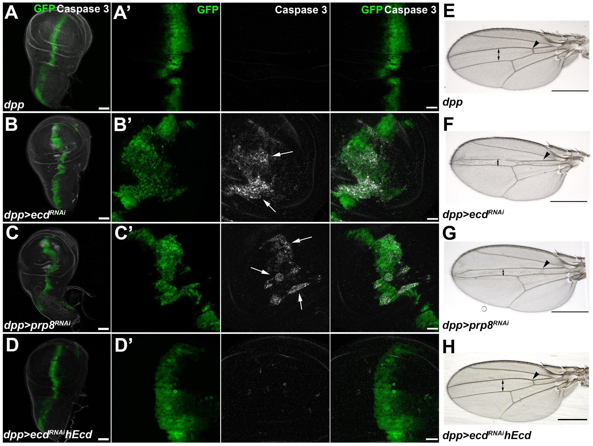 Depletion of Ecd or Prp8 causes apoptotic phenotypes in developing wings.