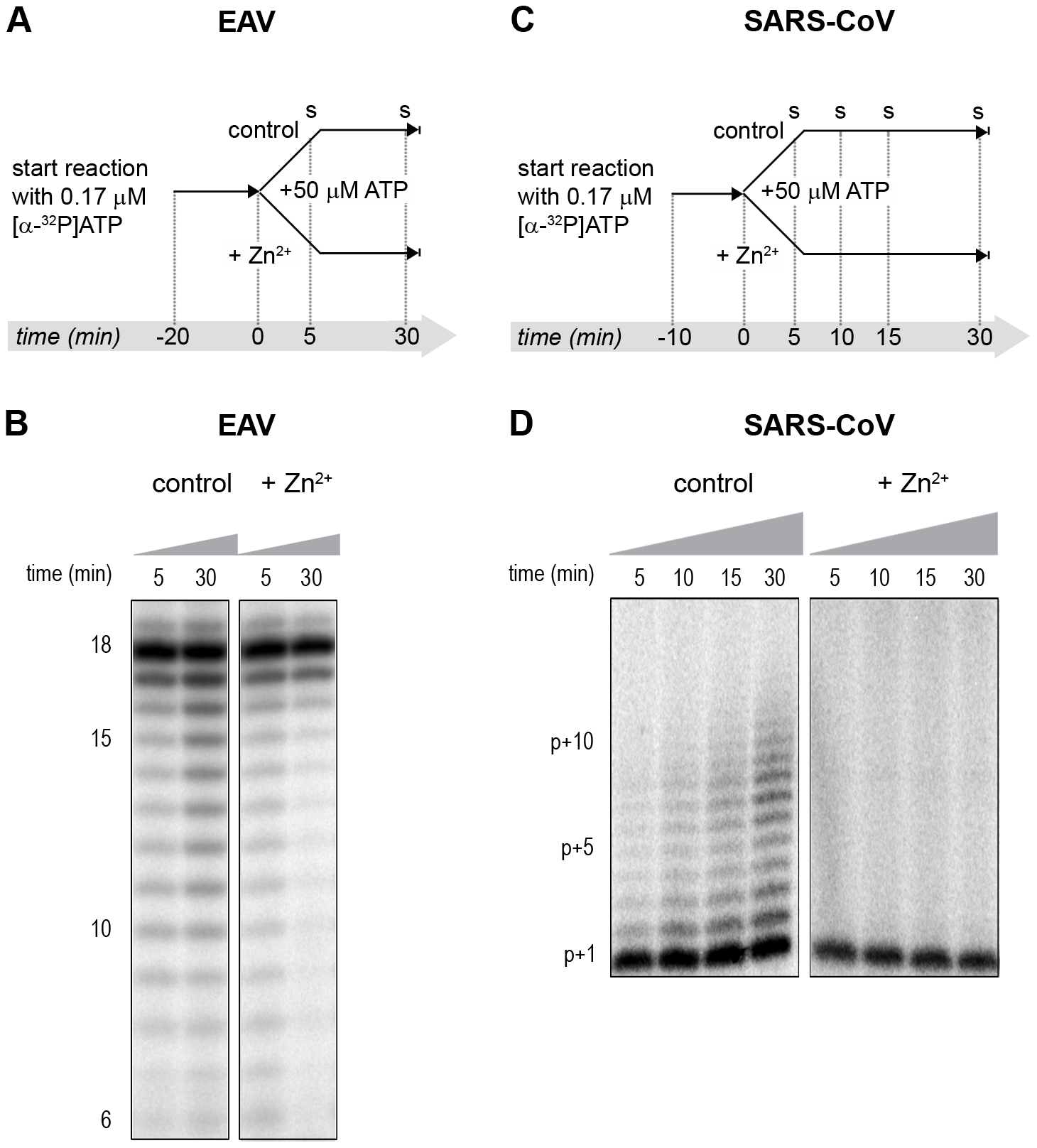 The effect of Zn<sup>2+</sup> on initiation and elongation activity of purified EAV and SARS-CoV RdRps.