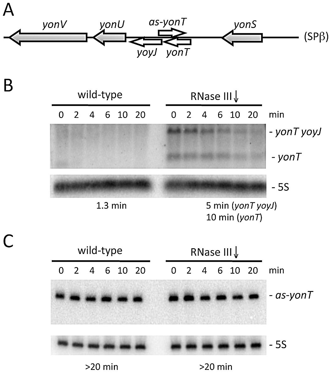 The <i>yonT</i> mRNA is stabilized in strains depleted for RNase III.
