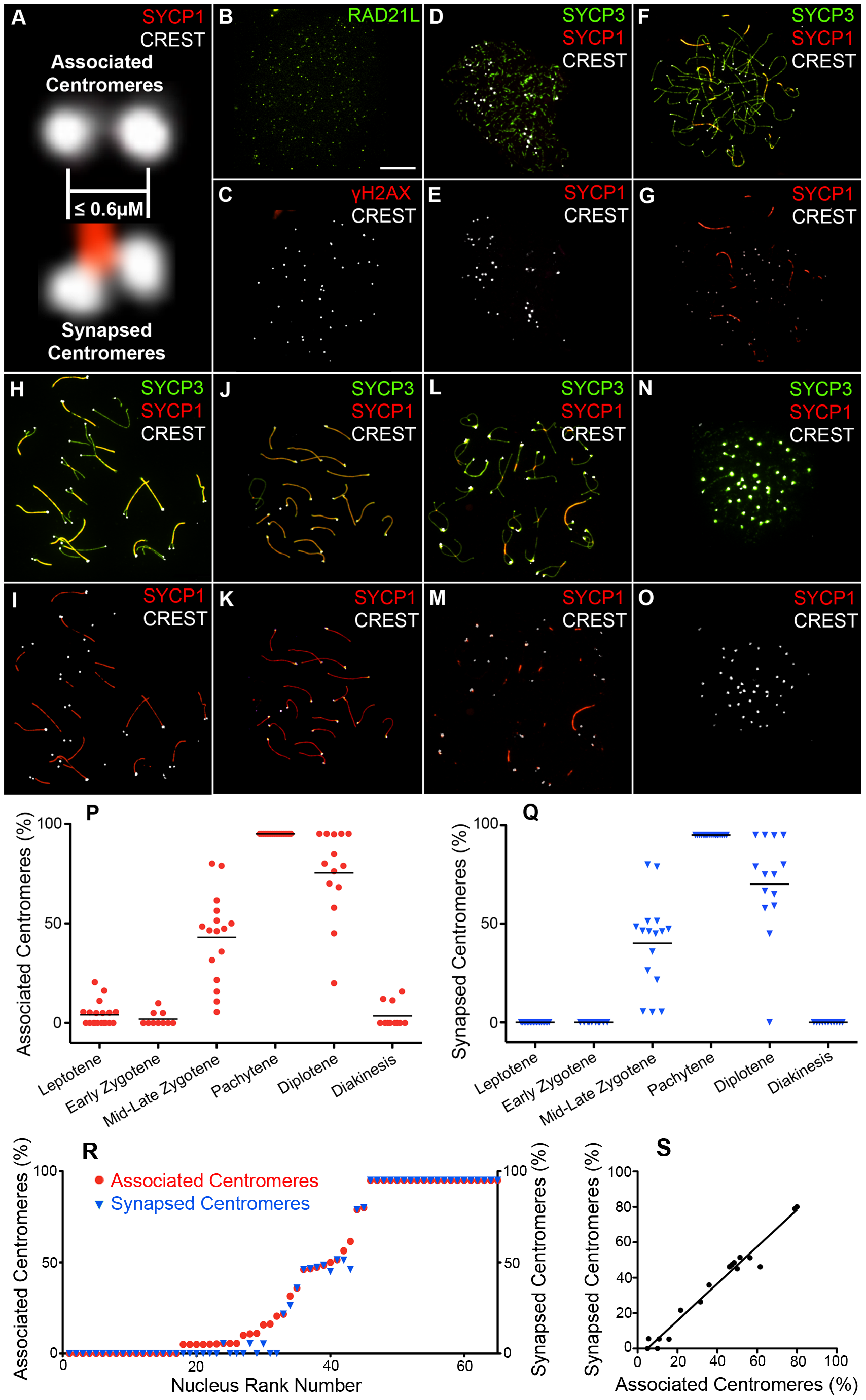 Centromere association and synapsis during meiotic prophase I.