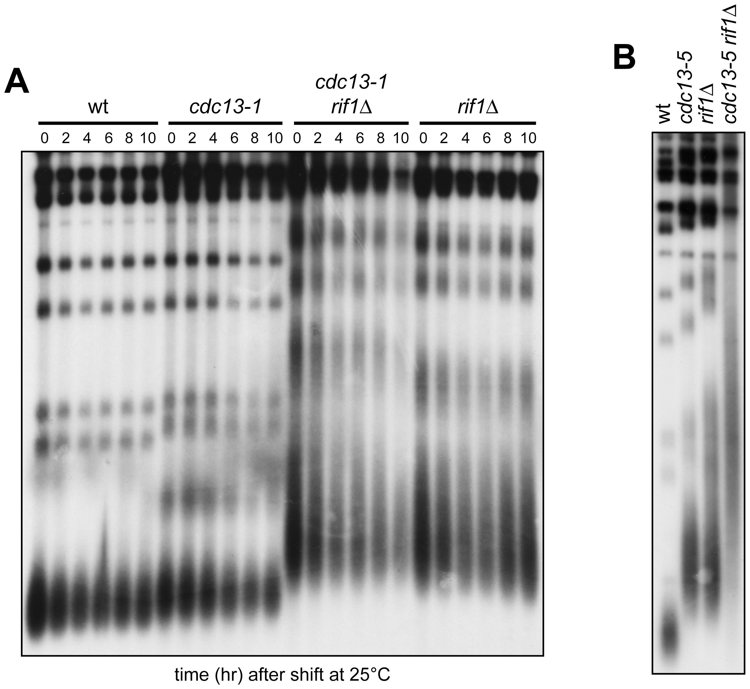 Native telomere length in <i>cdc13 rif1</i>Δ cells.