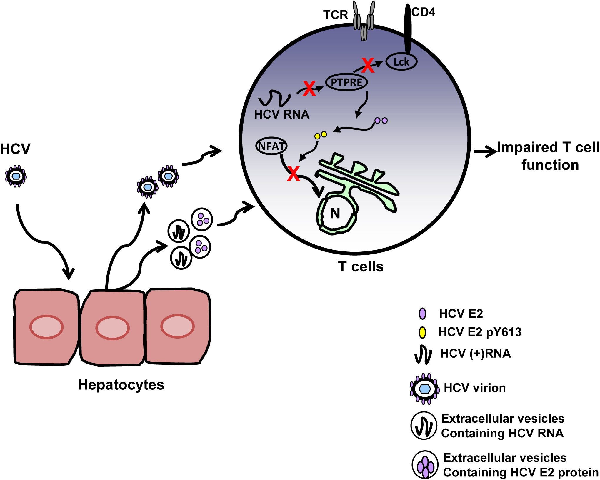 Proposed model for inhibition of T cell receptor (TCR) signaling during HCV infection.