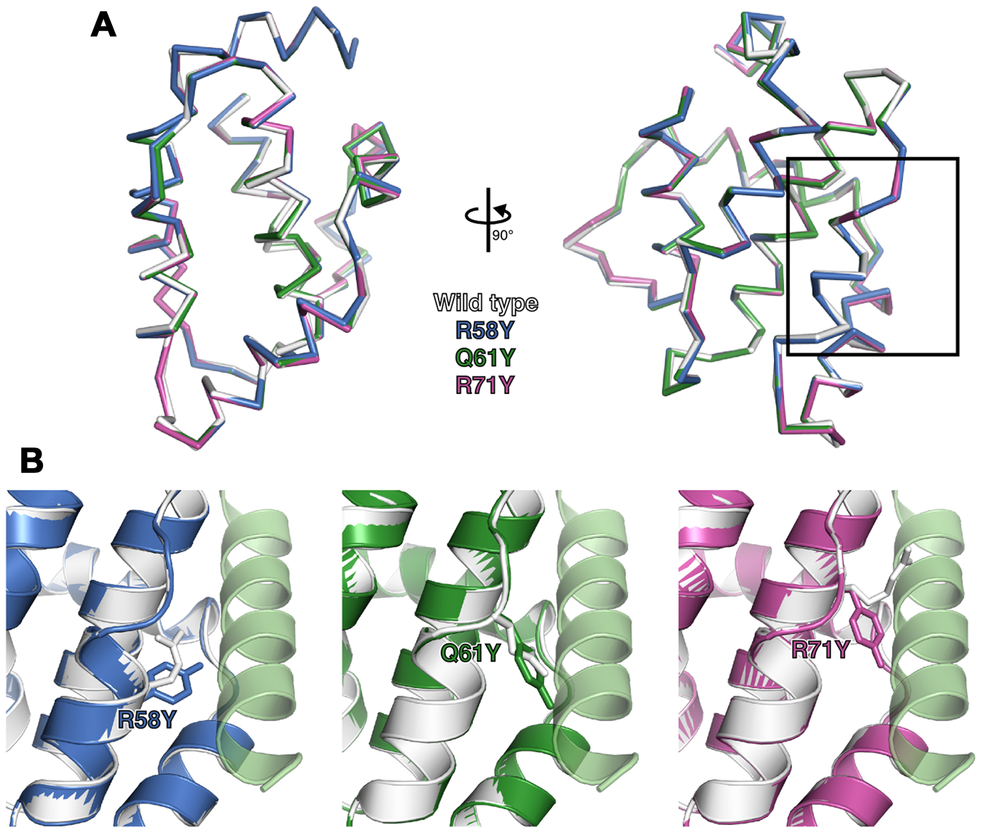 Structures of wild-type and groove-filling mutant N1.