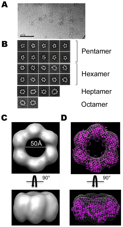 Electron microscopy of N-RNA complexes.