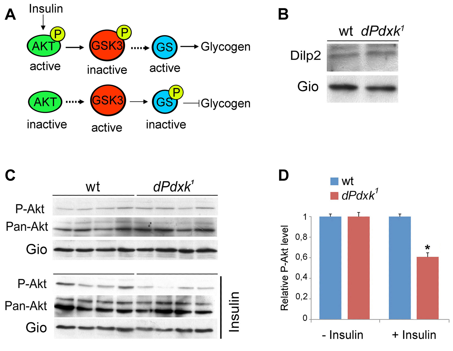 <i>dPdxk</i> mutants are defective in the insulin signaling pathway.