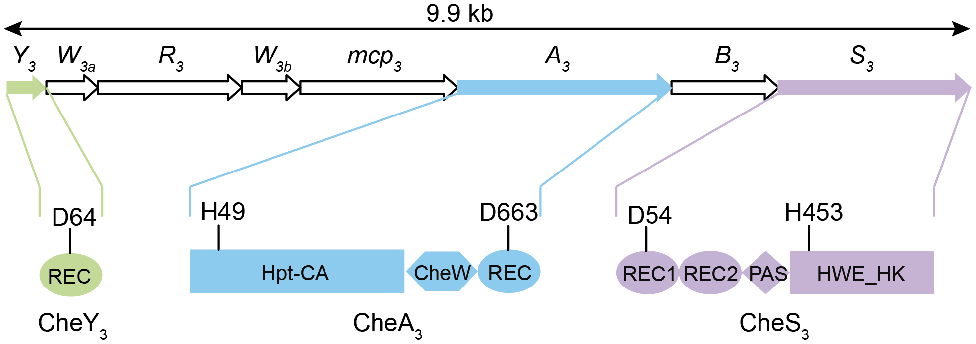 Gene arrangement of the <i>R. centenum che<sub>3</sub></i> cluster and domain organizations of CheA<sub>3</sub>, CheS<sub>3</sub>, and CheY<sub>3</sub>.