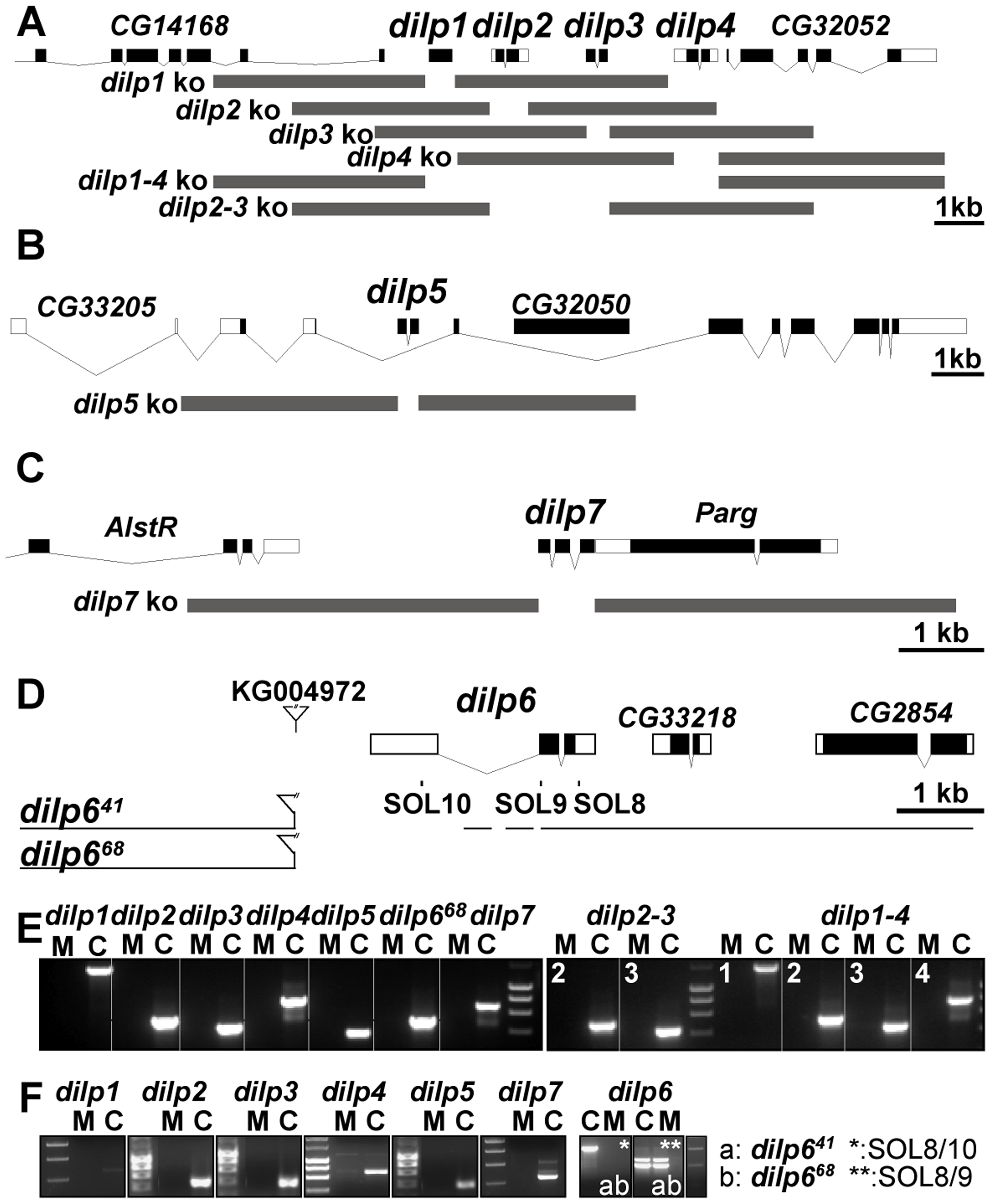 Gene locus organization and generation of <i>dilp</i> mutants.