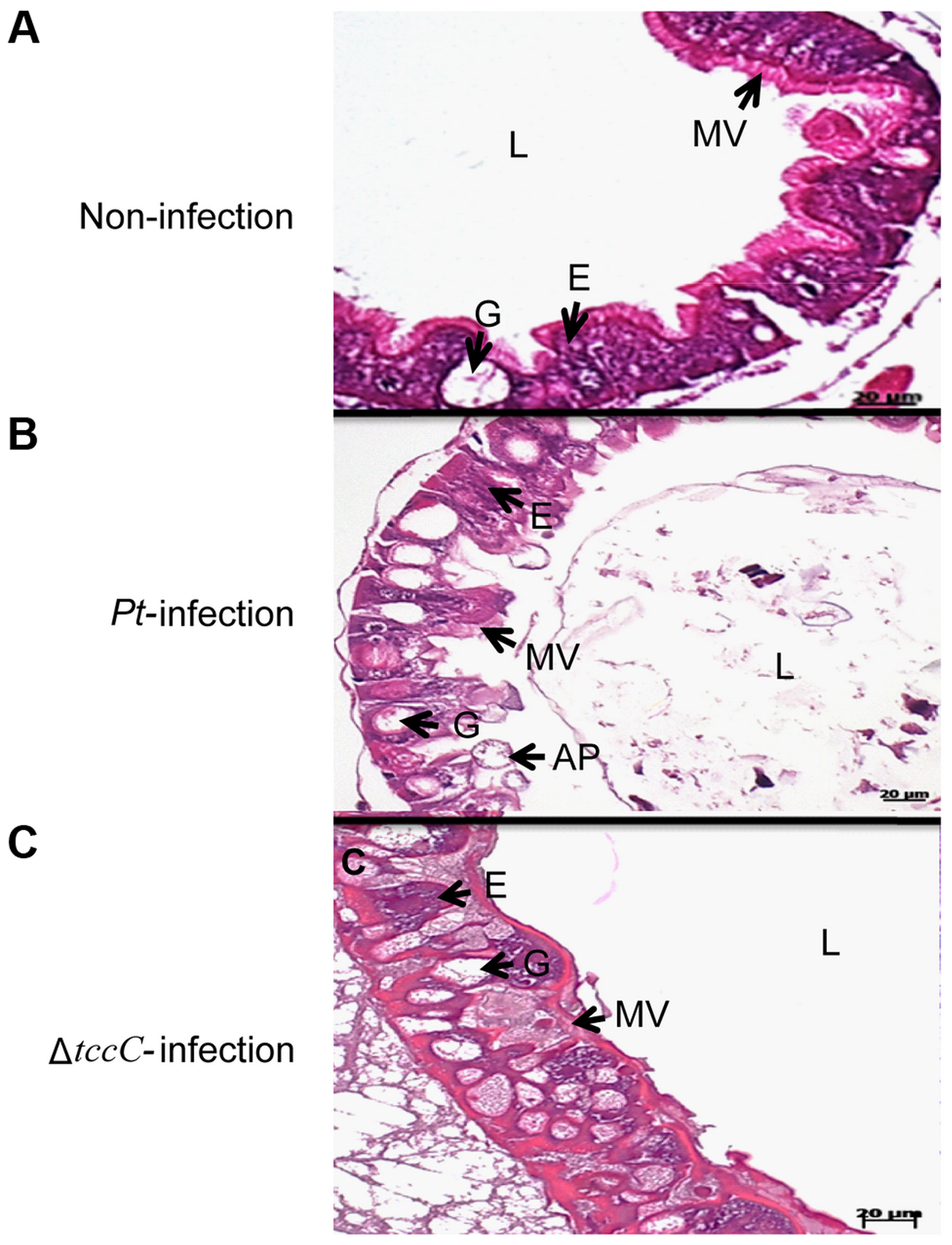 TccC of <i>P. taiwanensis</i> contributes to damage to the midgut of <i>P. xylostella</i> larvae.
