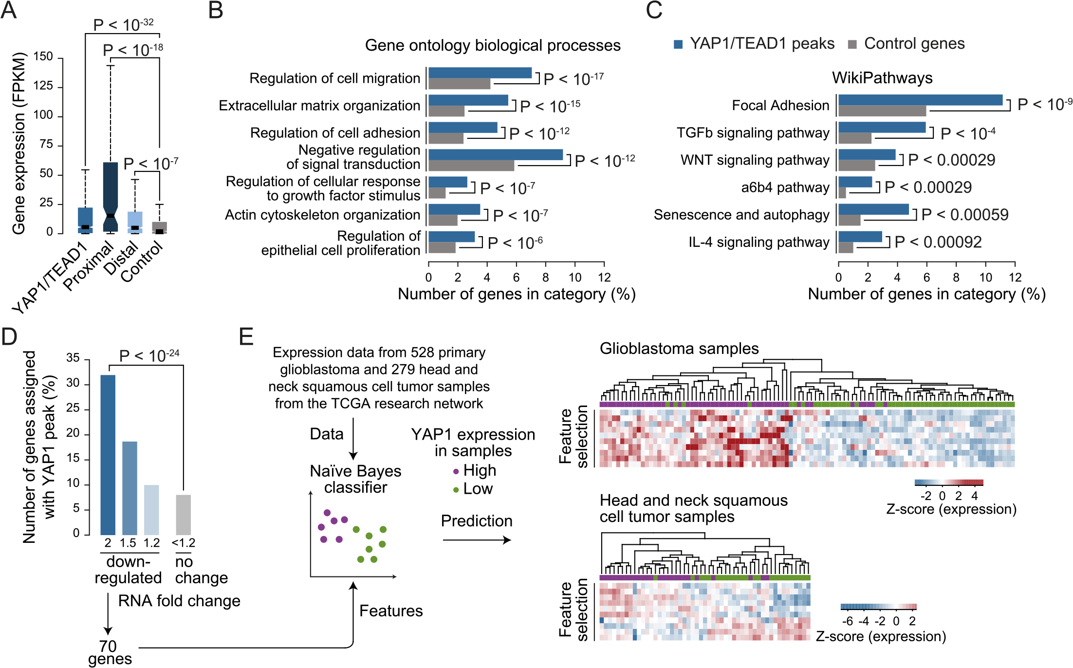 YAP1/TEAD1 target genes.