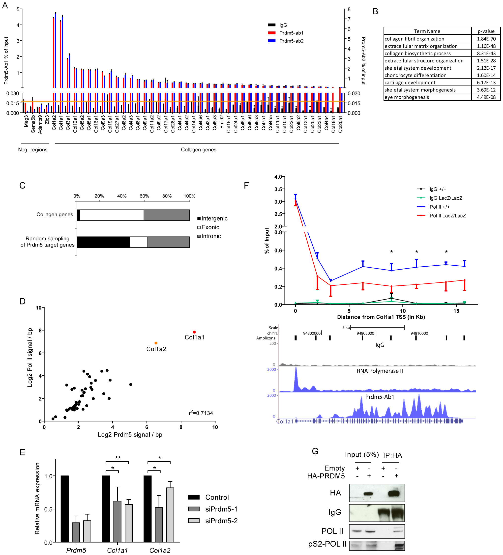 Prdm5 targets all collagen genes and regulates type I collagen expression.