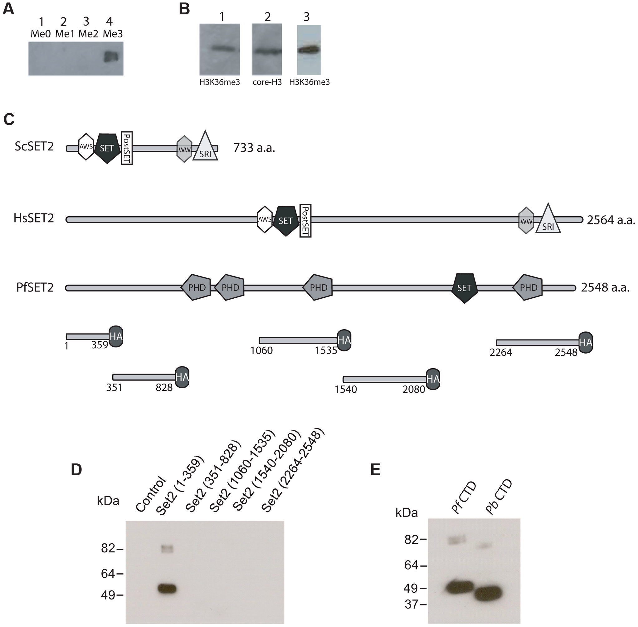 Detection of H3K36me3 in chromatin from <i>P. falciparum</i> and identification of the Rpb1binding region of PfSET2.