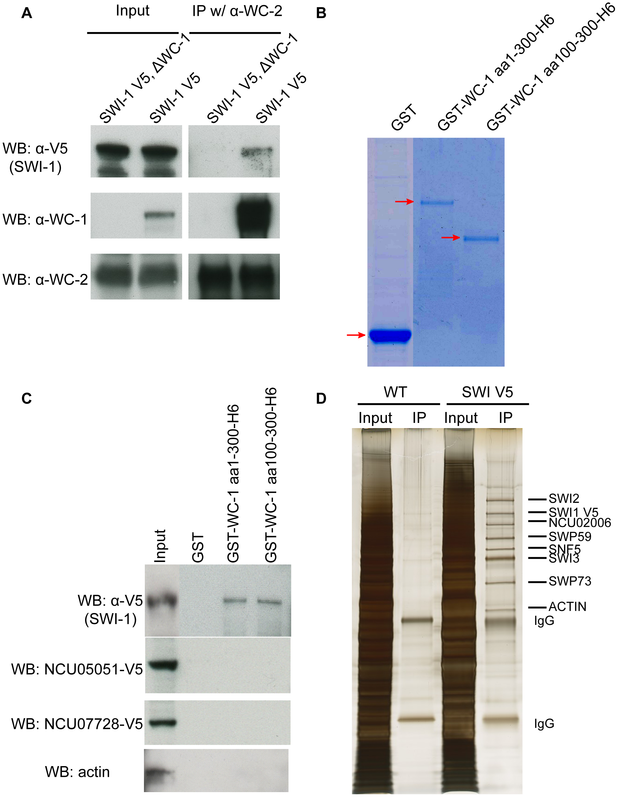 WCC interacts with SWI/SNF <i>in vivo</i> and <i>in vitro</i>.