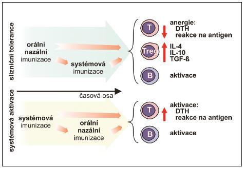 Vliv časové souslednosti slizniční a systémové imunizace při navození tolerance B – B-lymfocyt, DTH – reakce oddálené přecitlivělosti, IL – interleukin, TGF-β – transformující růstový faktor, T – T-lymfocyt, Treg – regulační T-lymfocyt