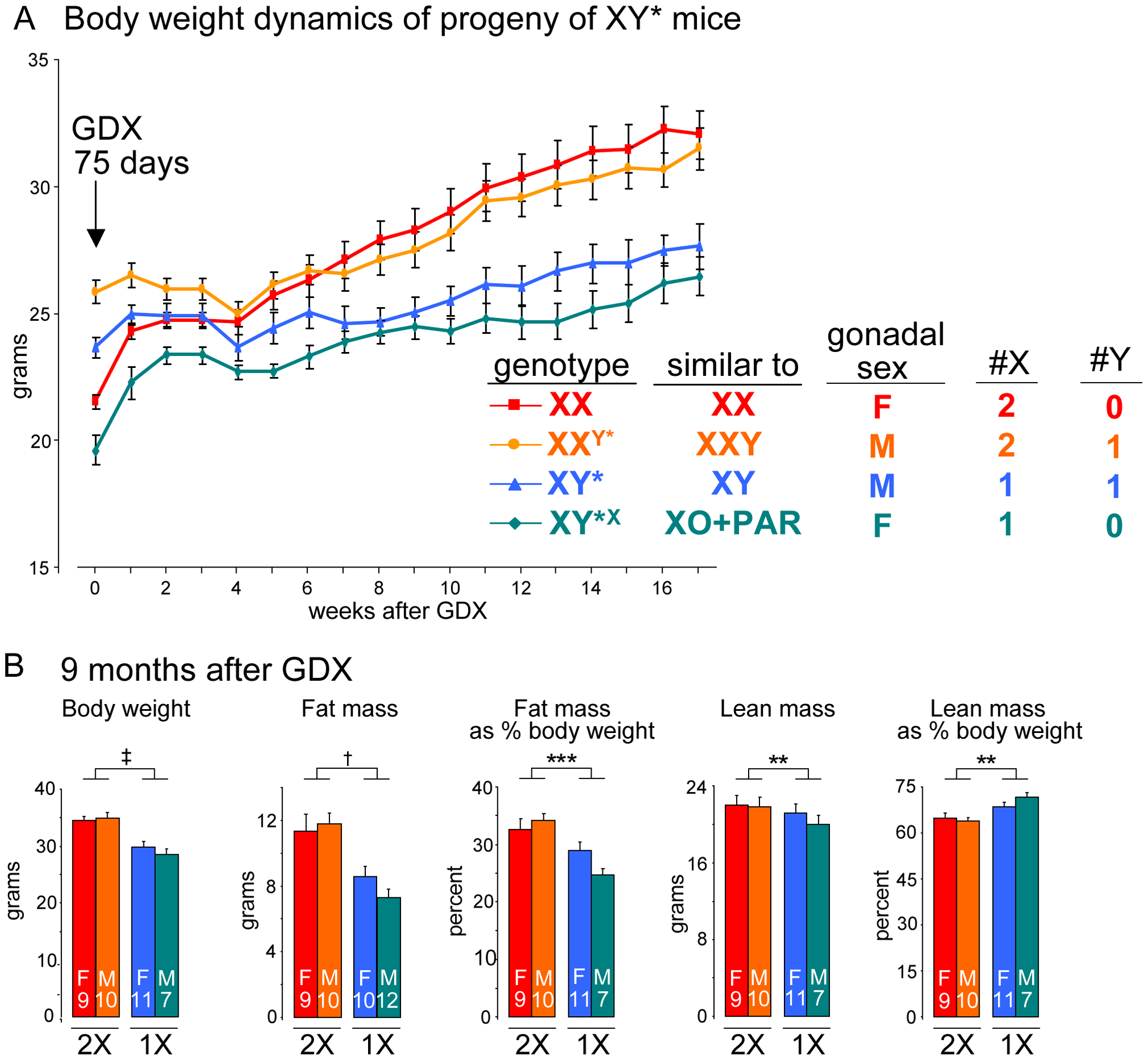 The number of X chromosomes determines differences in body weight and adiposity.