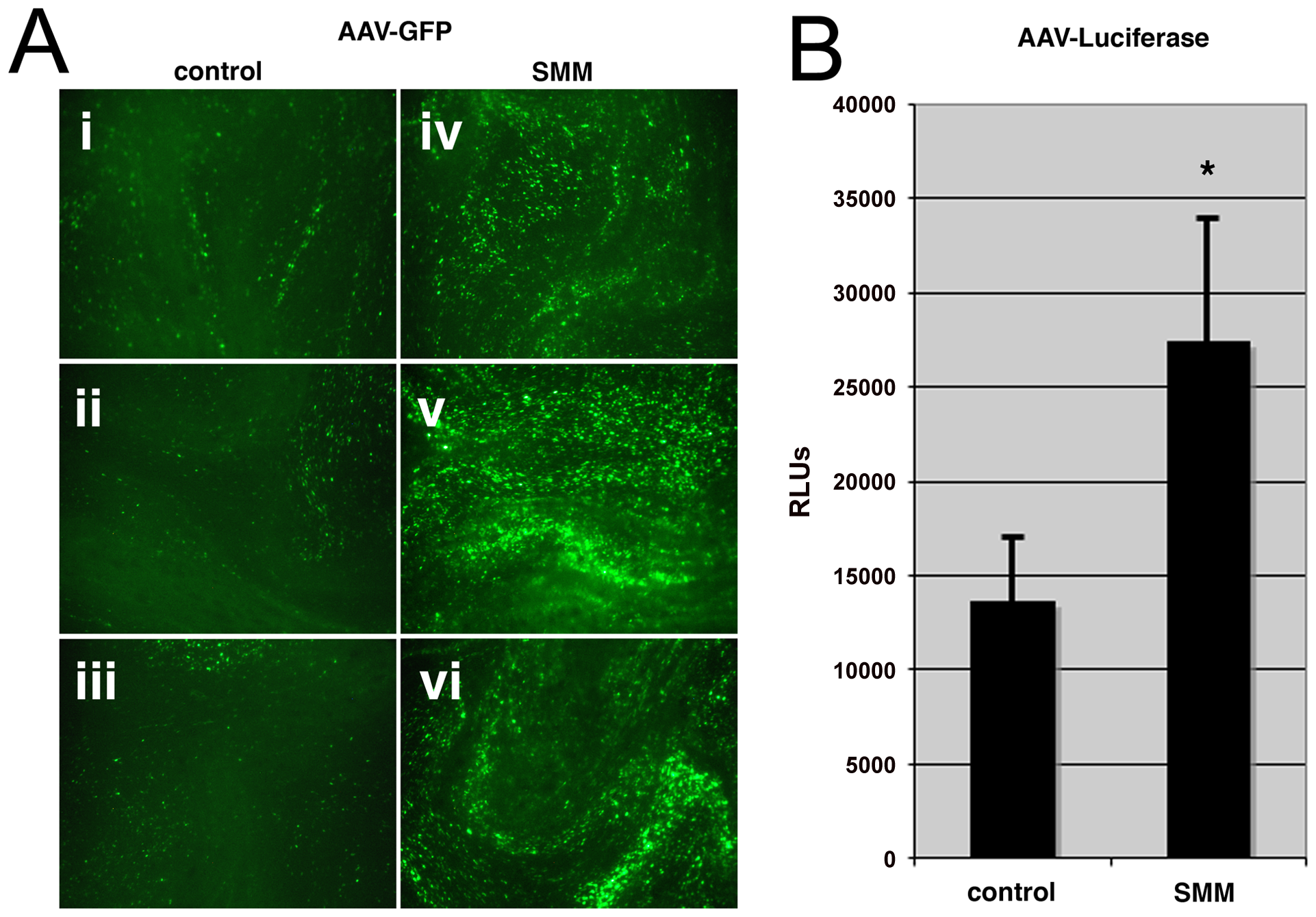 Human airway epithelium under stress is more susceptible to AAV infection.