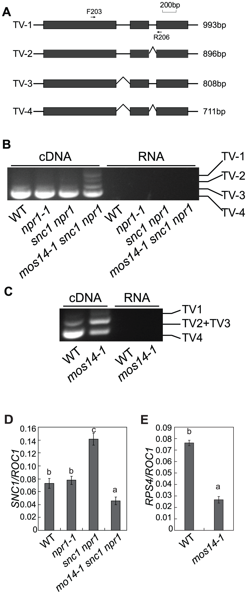 <i>mos14-1</i> affects the splicing pattern and causes reduced expression of <i>SNC1</i> and <i>RPS4</i>.