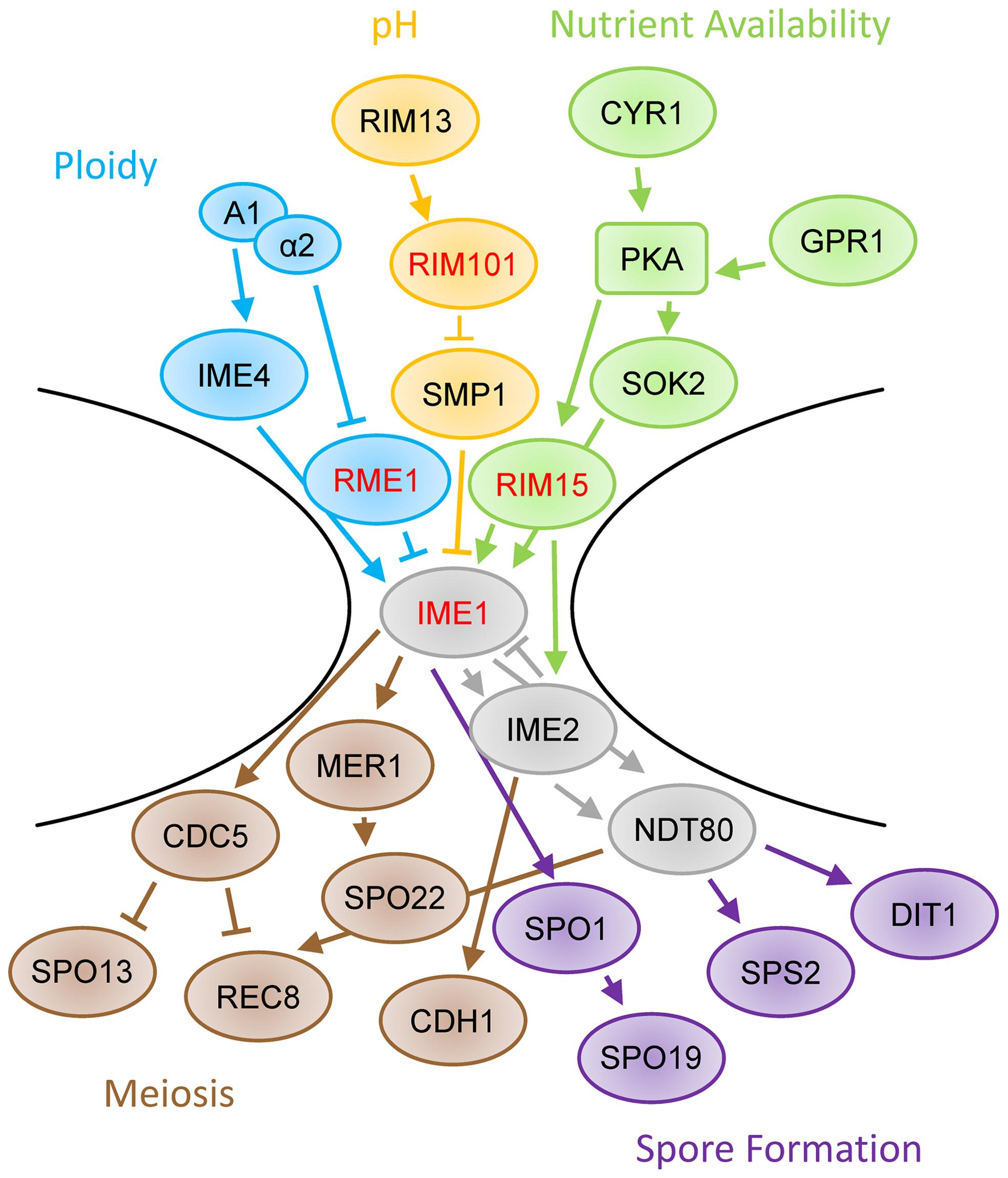 Schematic of sporulation pathway.