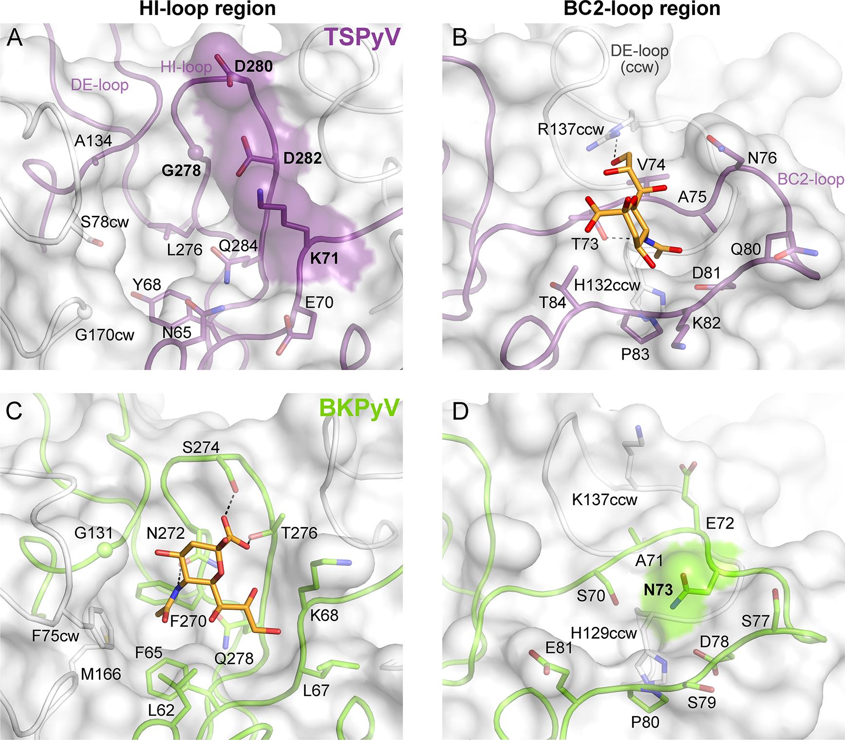 Comparison of the Neu5Ac binding sites of HI- loop and BC2- loop regions.