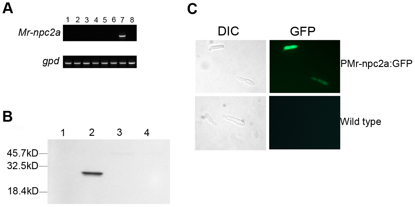 The expression pattern and cellular localization of Mr-NPC2a.