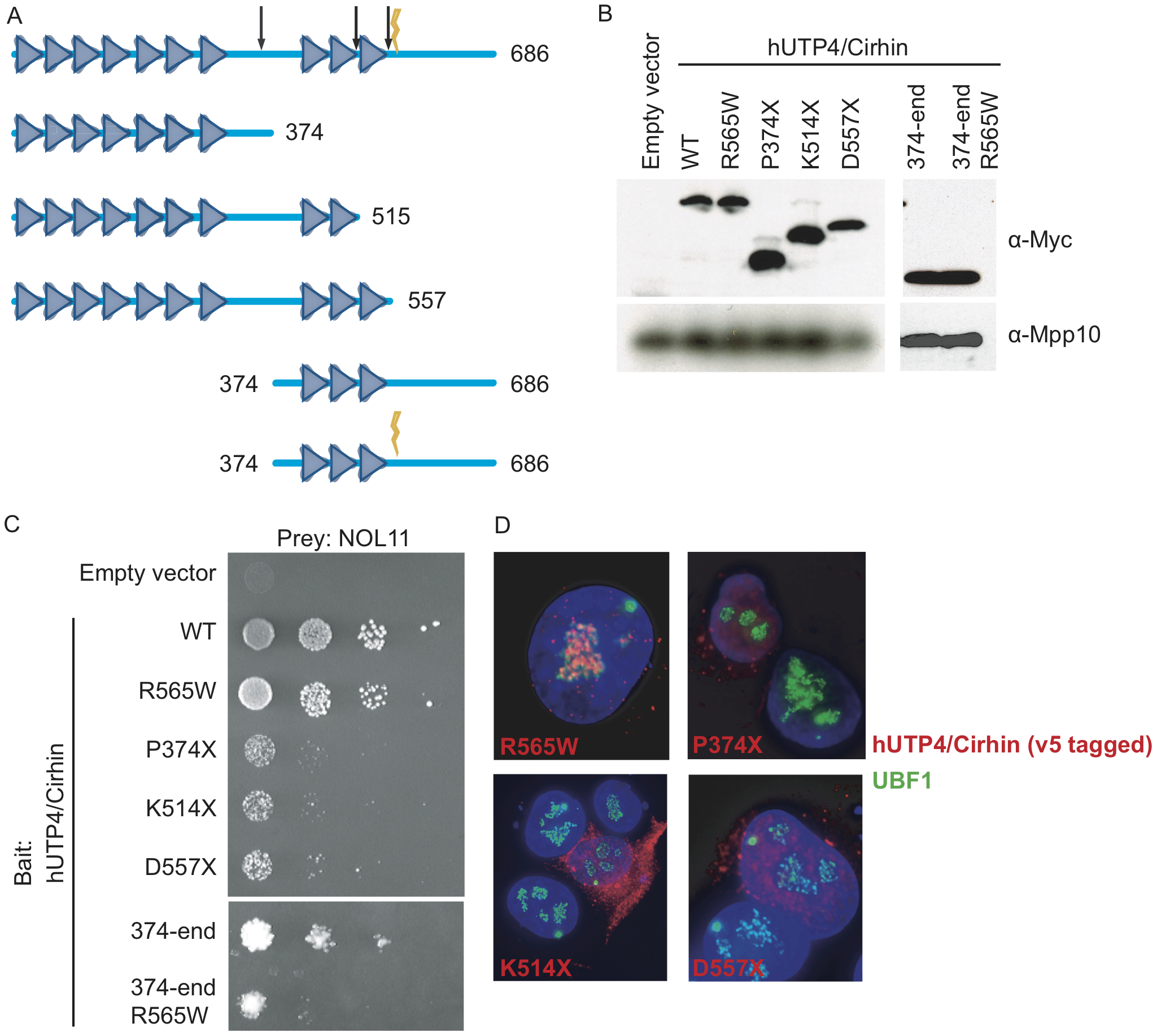 The NAIC mutation disrupts the interaction between NOL11 and a C-terminal fragment of hUTP4/Cirhin.