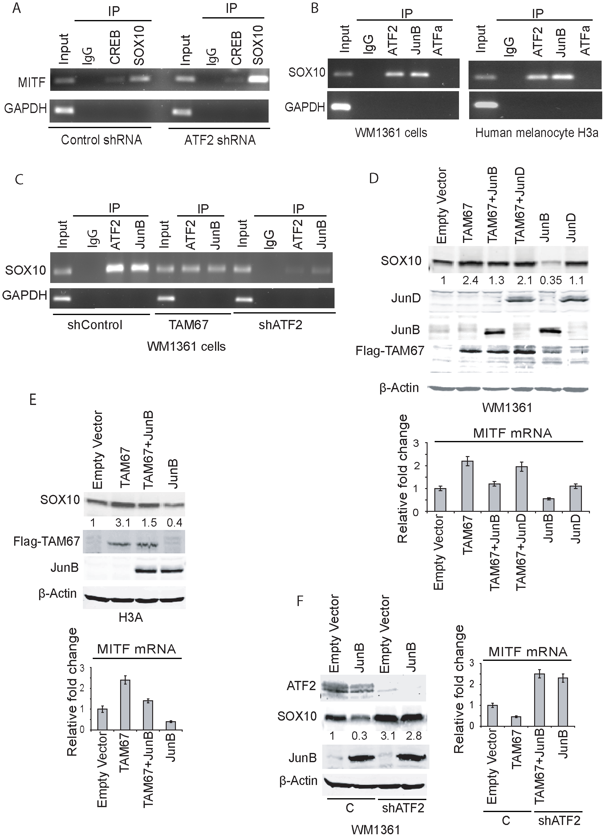 ATF2 and JunB negatively regulate SOX10 transcription, with concomitant effect on MITF.