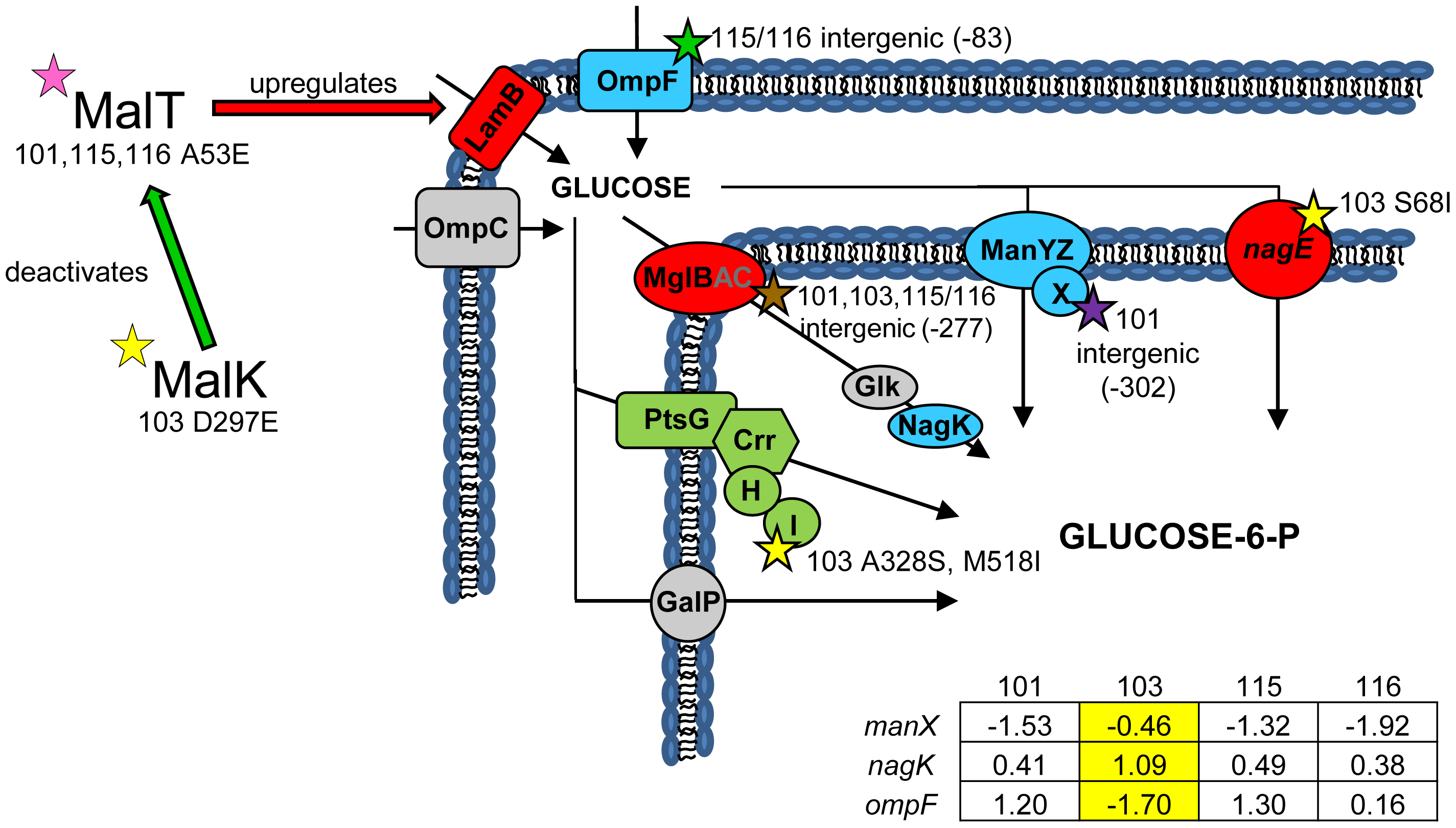 Gene expression and SNPs among loci that mediate glucose uptake.
