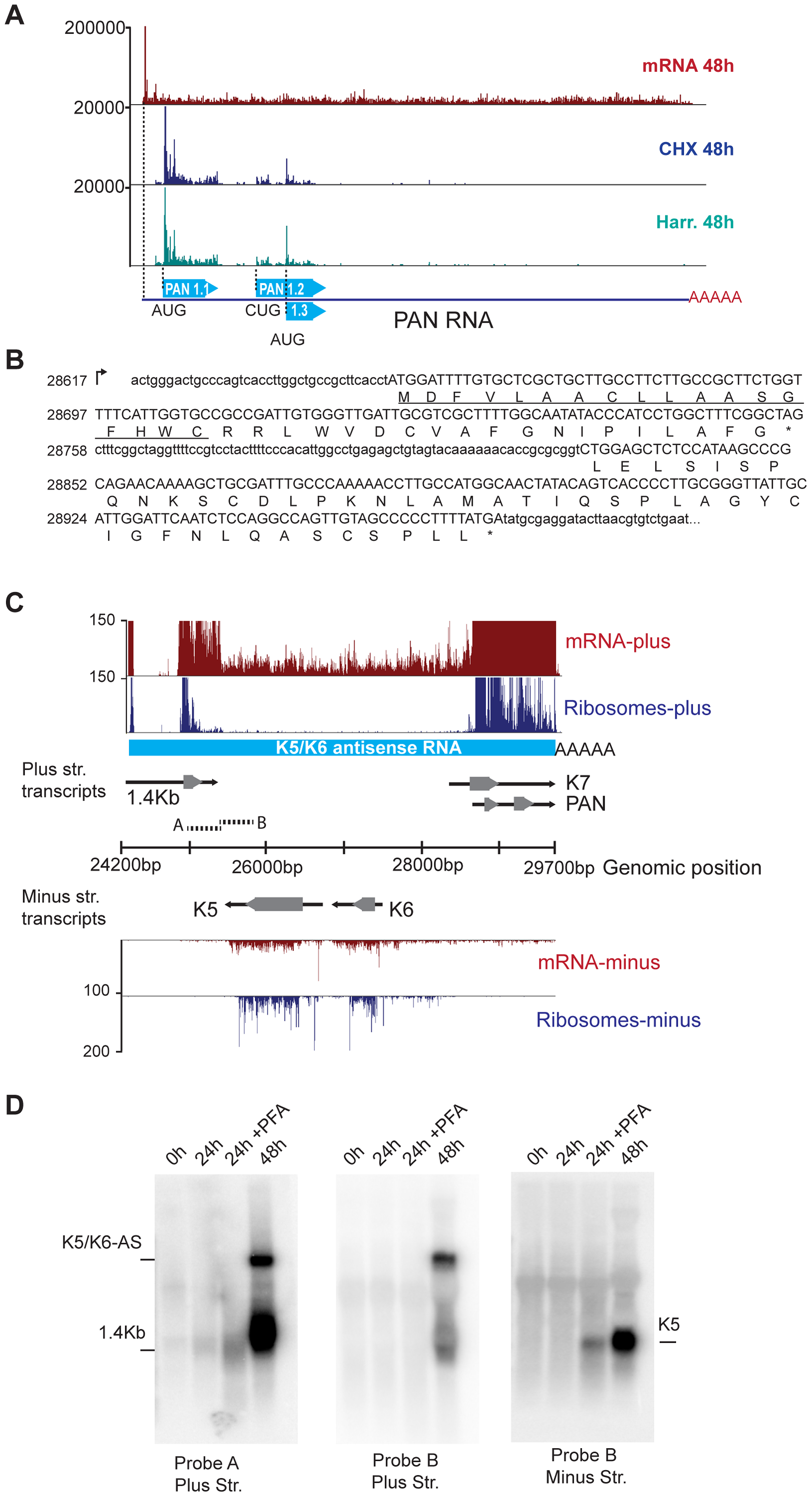 mRNA-Seq reveals ribosome-protected non-coding RNAs in KSHV.