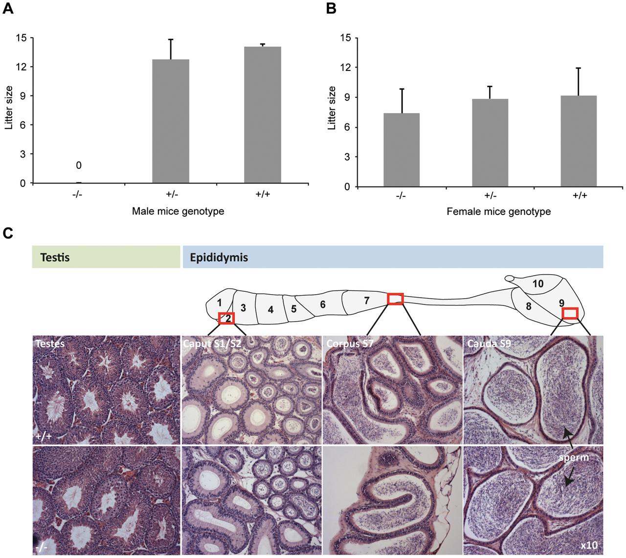 <i>DefbΔ9/DefbΔ9</i> male mice are infertile.