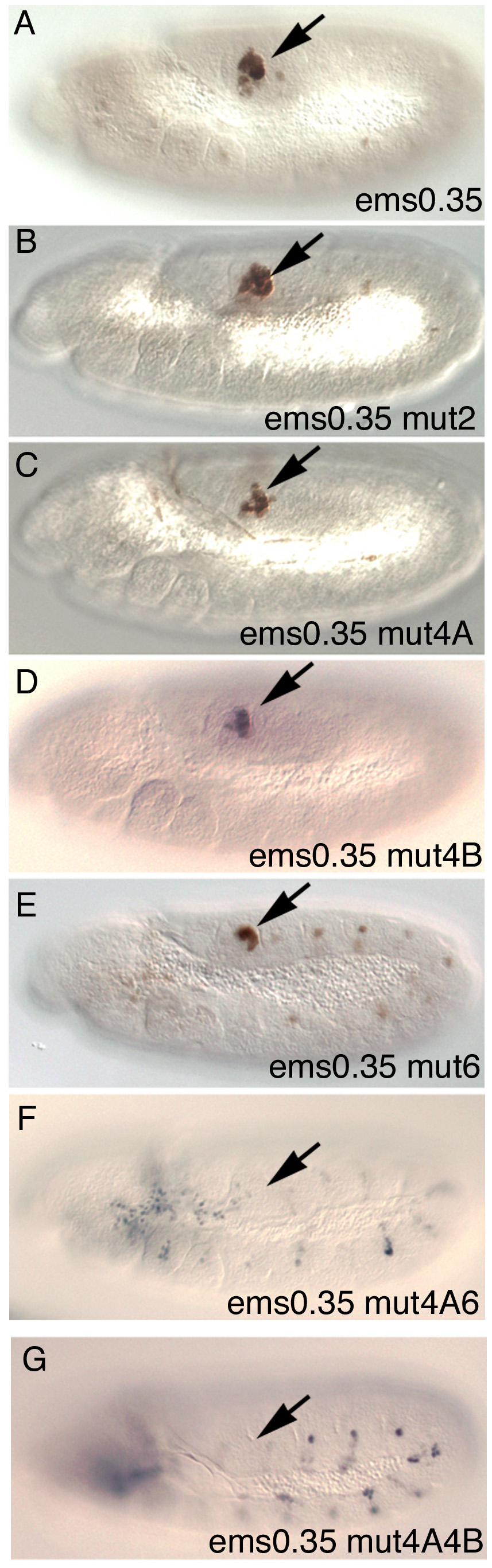 Expression of different <i>ems0.35</i> enhancer variants in st11 embryos.