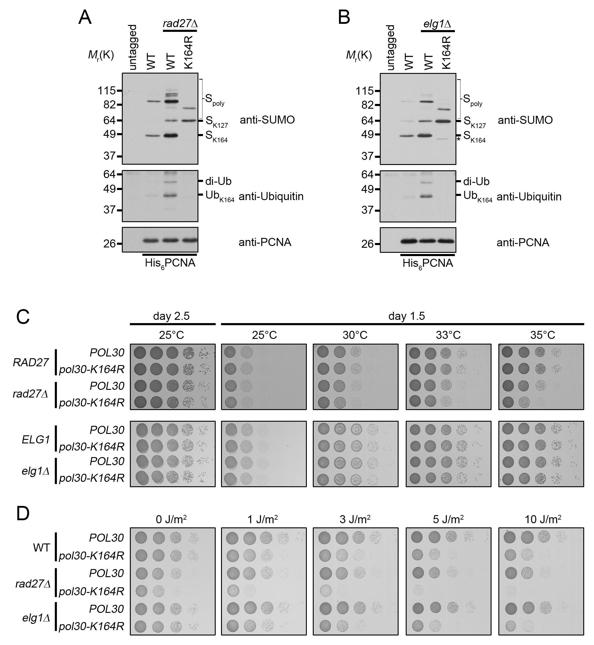 <i>rad27Δ</i> and <i>elg1Δ</i> mutants ubiquitinate PCNA at K164.