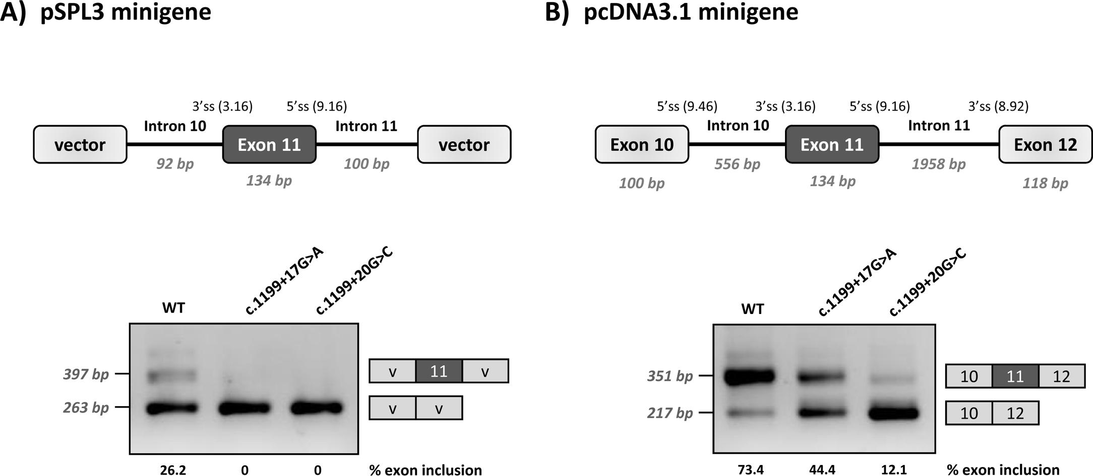 Minigene analysis of the c.1199+17G>C and c.1199+20G>C variants.