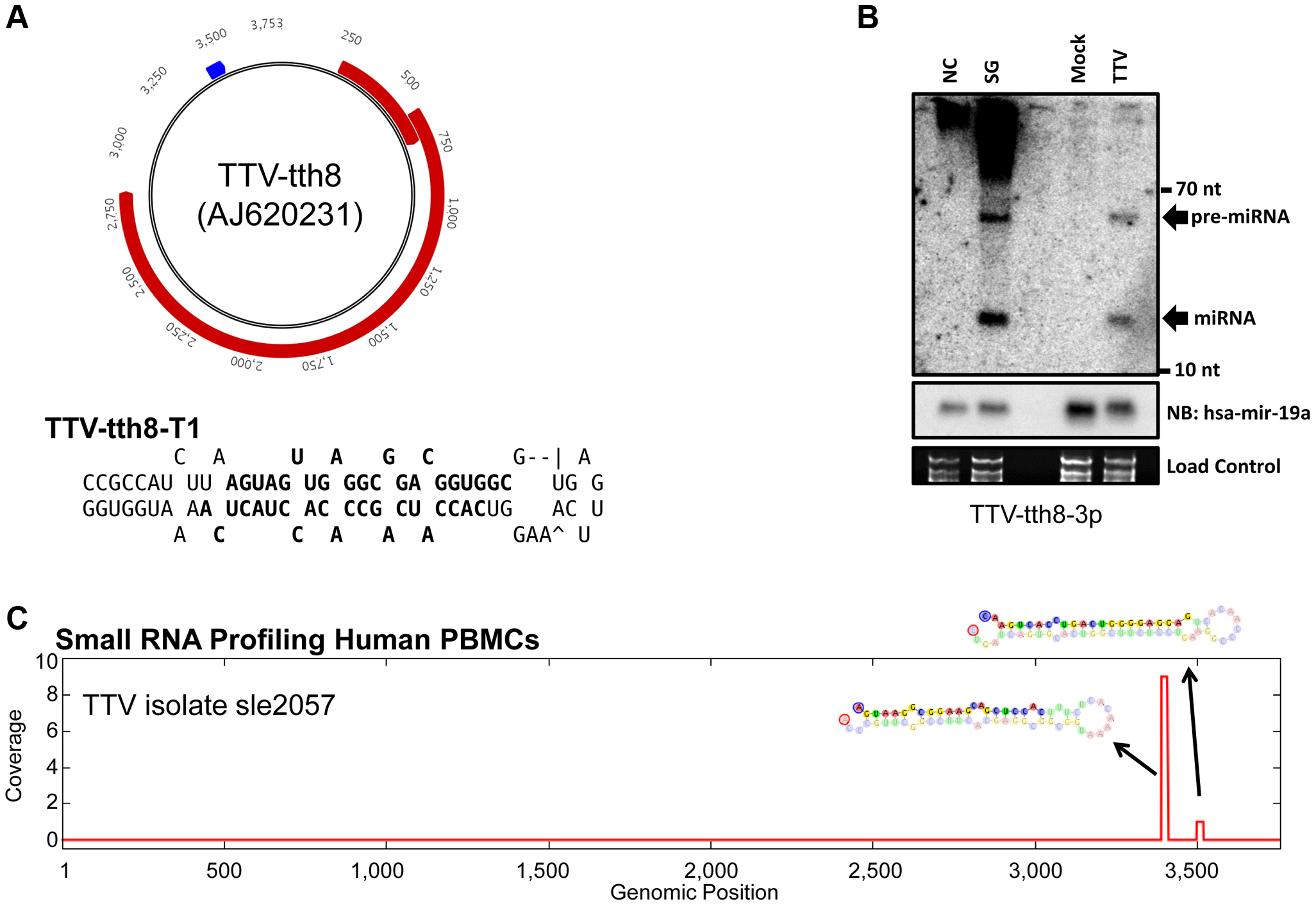 TTV miRNAs are expressed during <i>in vitro</i> cell culture replication and are detectable from <i>in vivo</i> small RNA profiling of human PBMCs.