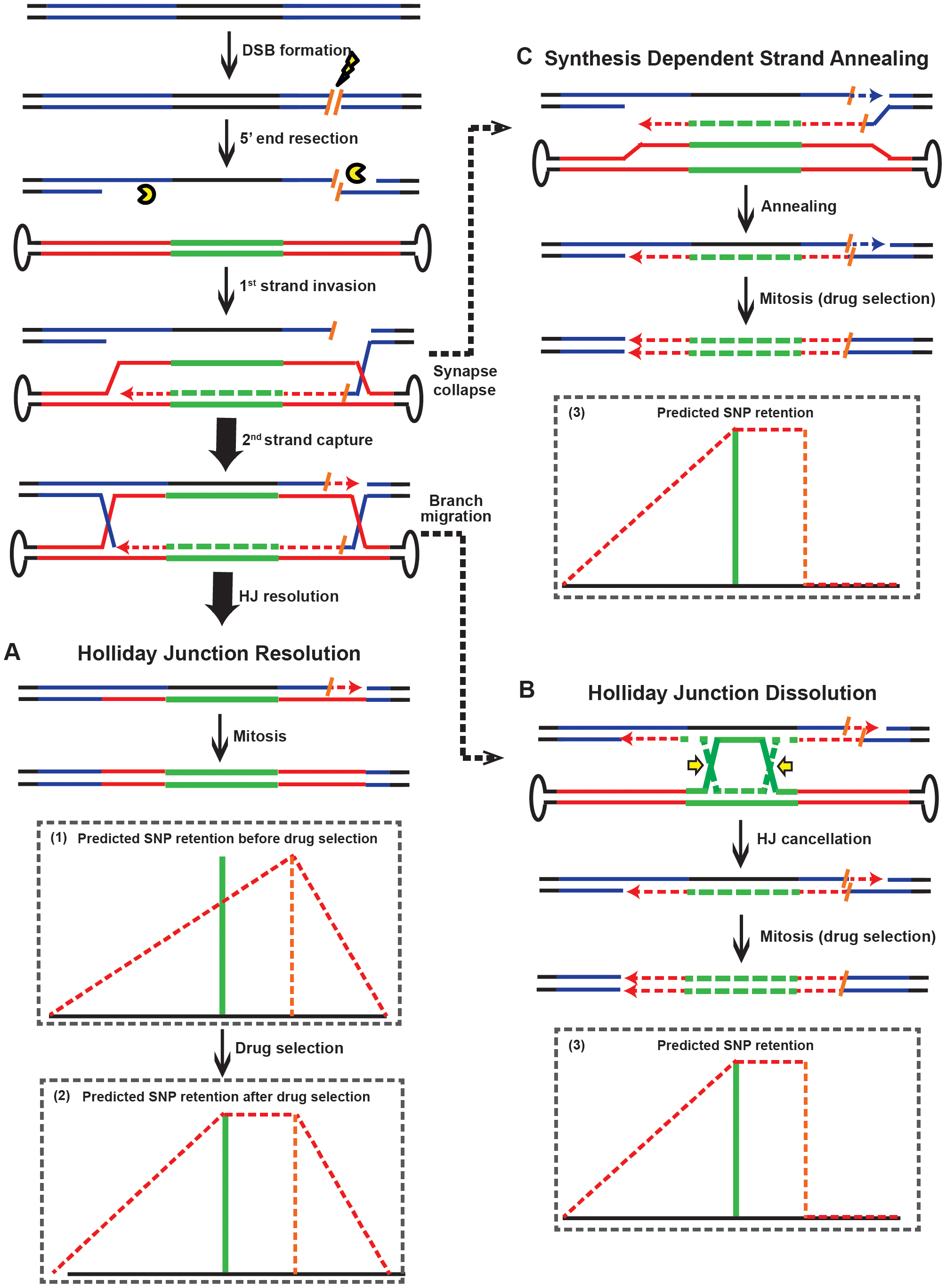 Models for rAAV gene targeting in the presence of DSBs.