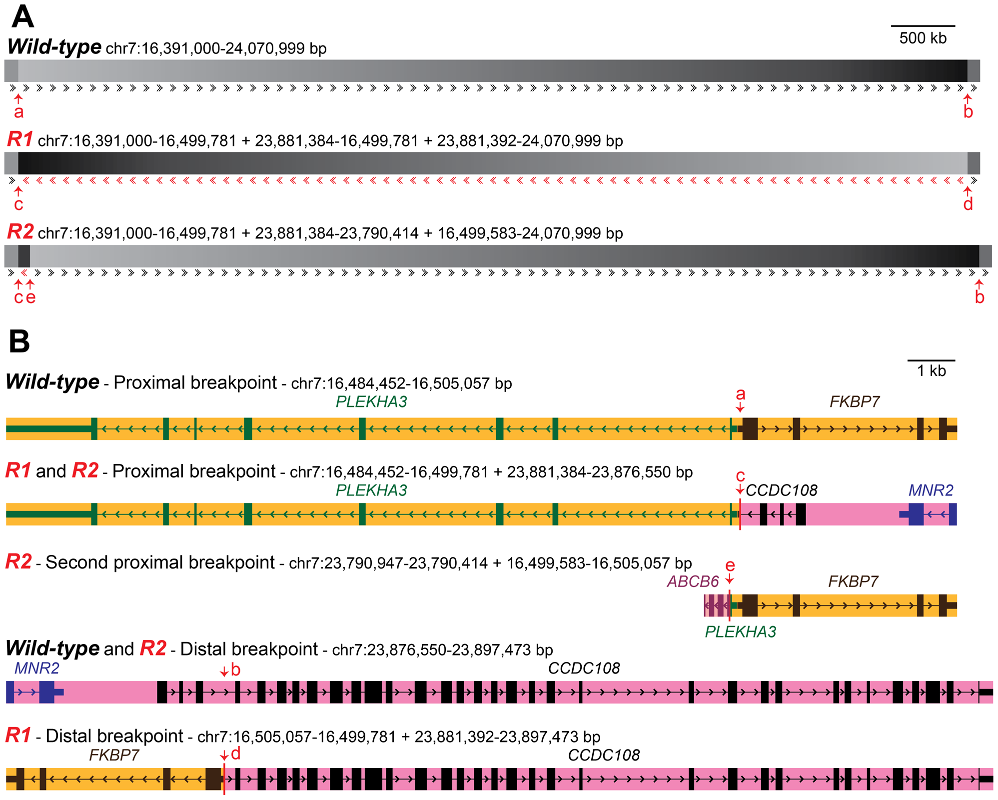Organization of wild-type and <i>Rose-comb</i> chromosomes and description of inversion and duplication breakpoints.