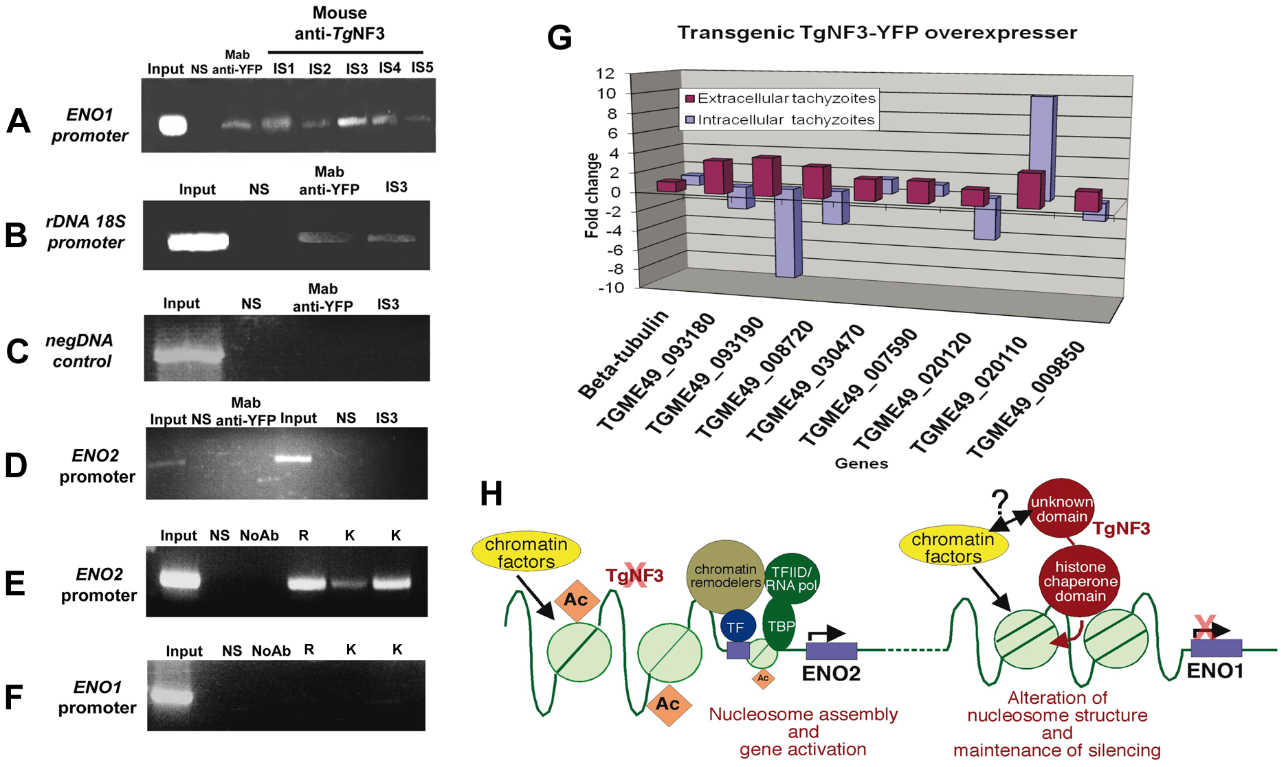 Chromatin immunoprecipitation (ChIP) analyses of TgNF3 binding sites <i>in vivo</i>.